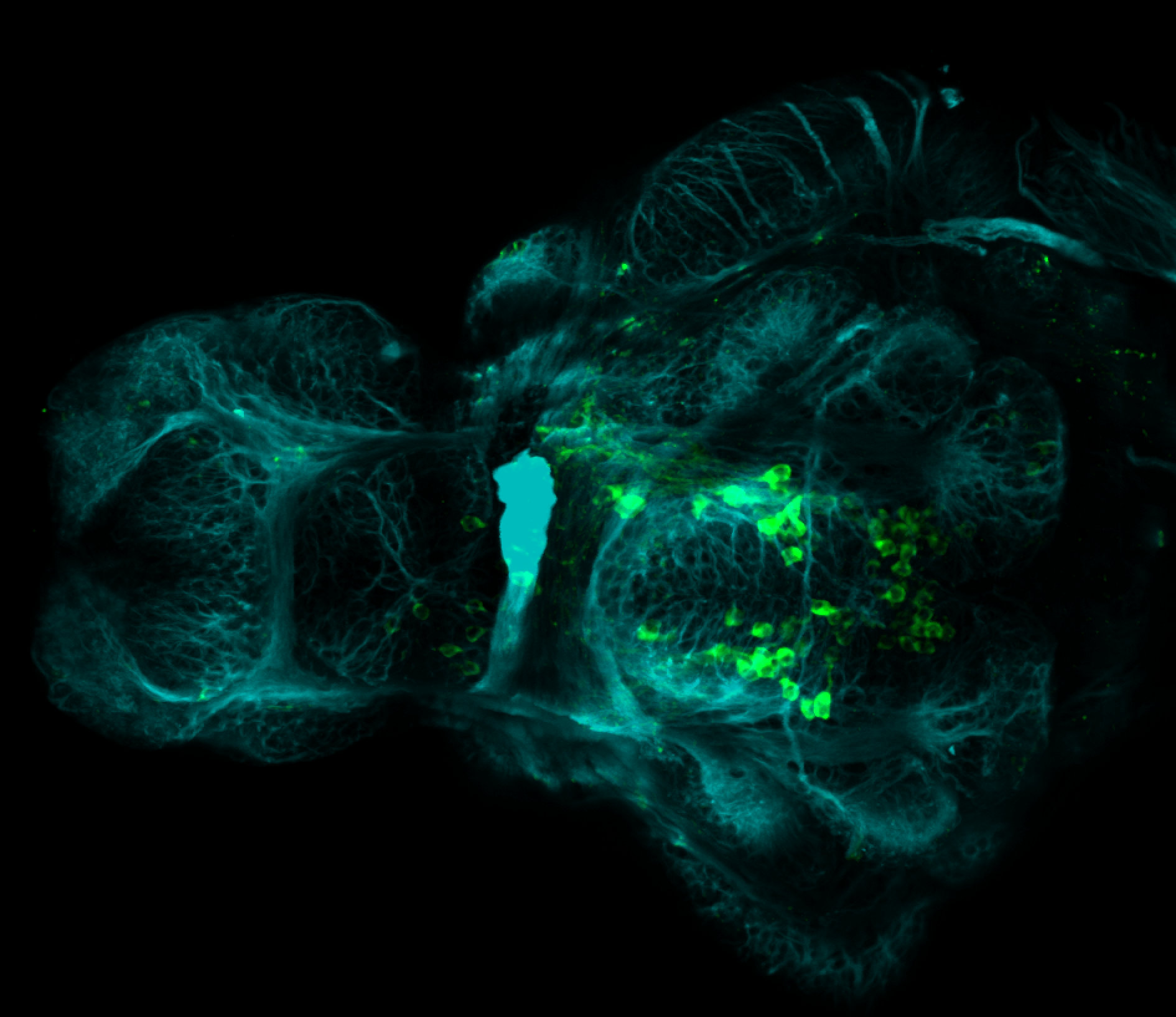 4dpf ventral anti-TH and tubulin(cyan)