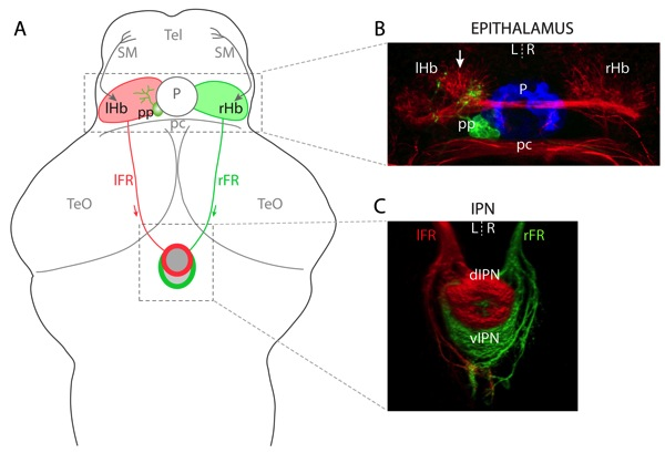 Left-right asymmetries in the telencephalon-habenula-IPN pathway.   (a) Schematic of a 4 dpf larval zebrafish brain. The habenular (Hb) nuclei receive afferent inputs from nuclei in the telencephalon (Tel) via the stria medullaris and diencephalon (not shown). Habenular neurons send efferent projections via the fasciculus retroflexus (FR) to the interpeduncular nucleus (IPN) in the ventral mid-brain. The L habenula predominantly innervates the dIPN and makes less substantial projections to the vIPN whereas the vast majority of R-sided axons terminate in the vIPN. In addition to the habenulae, the epithalamus contains the pineal complex, comprising the photoreceptive pineal (P) and parapineal (pp) nuclei. The parapineal is located on the L side of the dorsal midline and projects efferent axons that exclusively innervate the L habenula. (b) Neuroanatomical asymmetries in the epithalamus. Anti-acetylated tubulin immunostaining (red) reveals the L habenula displays a greater density of neuropil, especially in the dorso-medial aspect of the nucleus (arrow). The pineal (blue) and parapineal (green) nuclei are visualized by expression of GFP in a Tg(foxD3:GFP) transgenic larva. Parapineal efferent axons predominantly terminate in the asymmetric neuropil of the L habenula. (c) Three-dimensional reconstruction of habenular axon terminals in the ventral midbrain. L-sided axons were labelled with DiD (red) and R-sided axons with DiI (green). The dIPN is almost exclusively innervated by L-sided axons, whereas the ventral target receives a majority of R-sided inputs. All panels show dorsal views, anterior top. pc, posterior commissure;