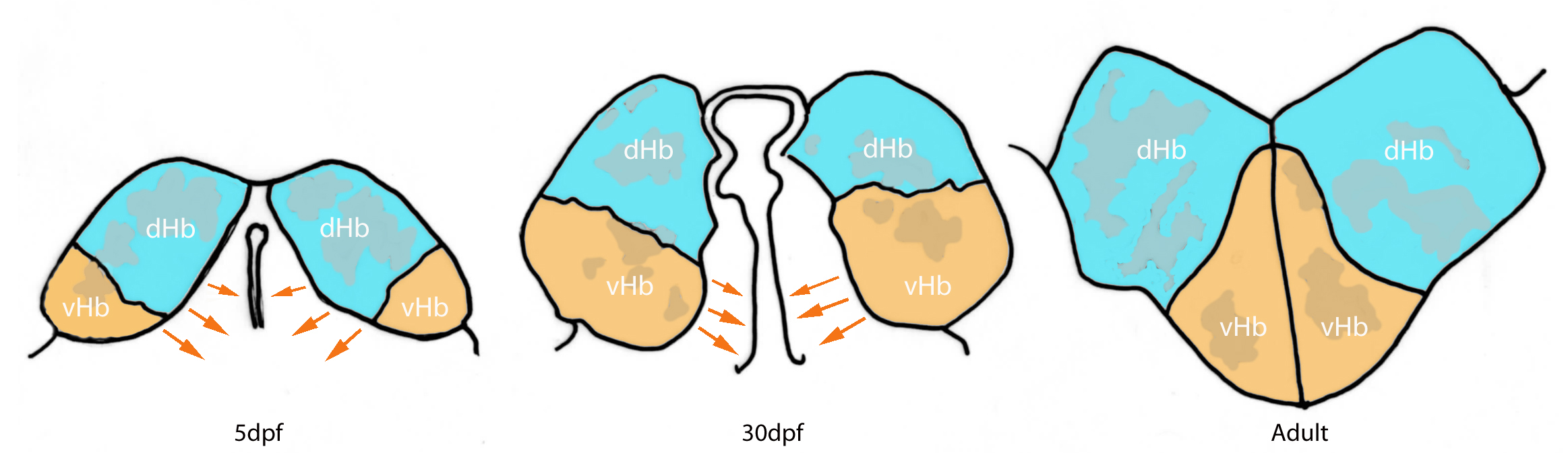 Schematic showing the relative positions of the dosal and ventral habenulae subnuclei at different stages of development .  At 5dpf the vHb subnucleus is lateral to the dorsal habenular nuclei in the habenular primordium. This region then migrates ventro-medially to result in the arrangement we observe in the adult zebrafish. dHb (blue) and vHb(orange)(Schematic adapted from Amo et al, 2010).