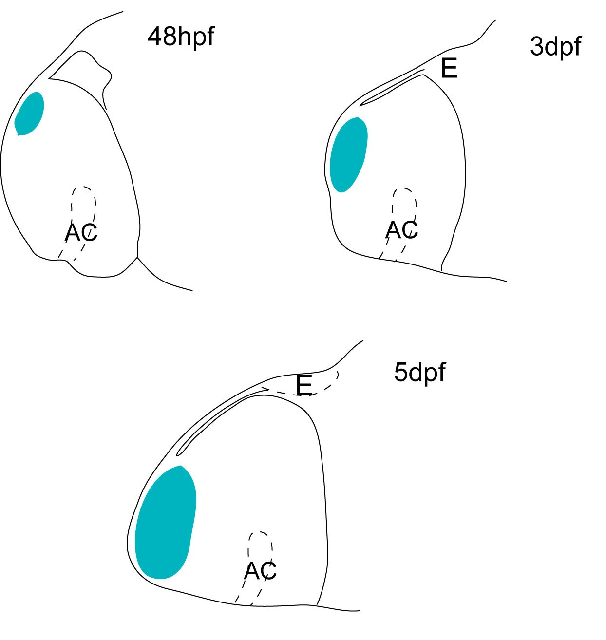 Cartoon showing the position of the olfactory bulb at three different stages of the zebrafish development (2dpf, 3dpf and 5dpf). The olfactory bulb is located in a dorso-posterior position in the telencephalon at 2dpf, but later in development (5dpf) acquires its characteristic anterior position.