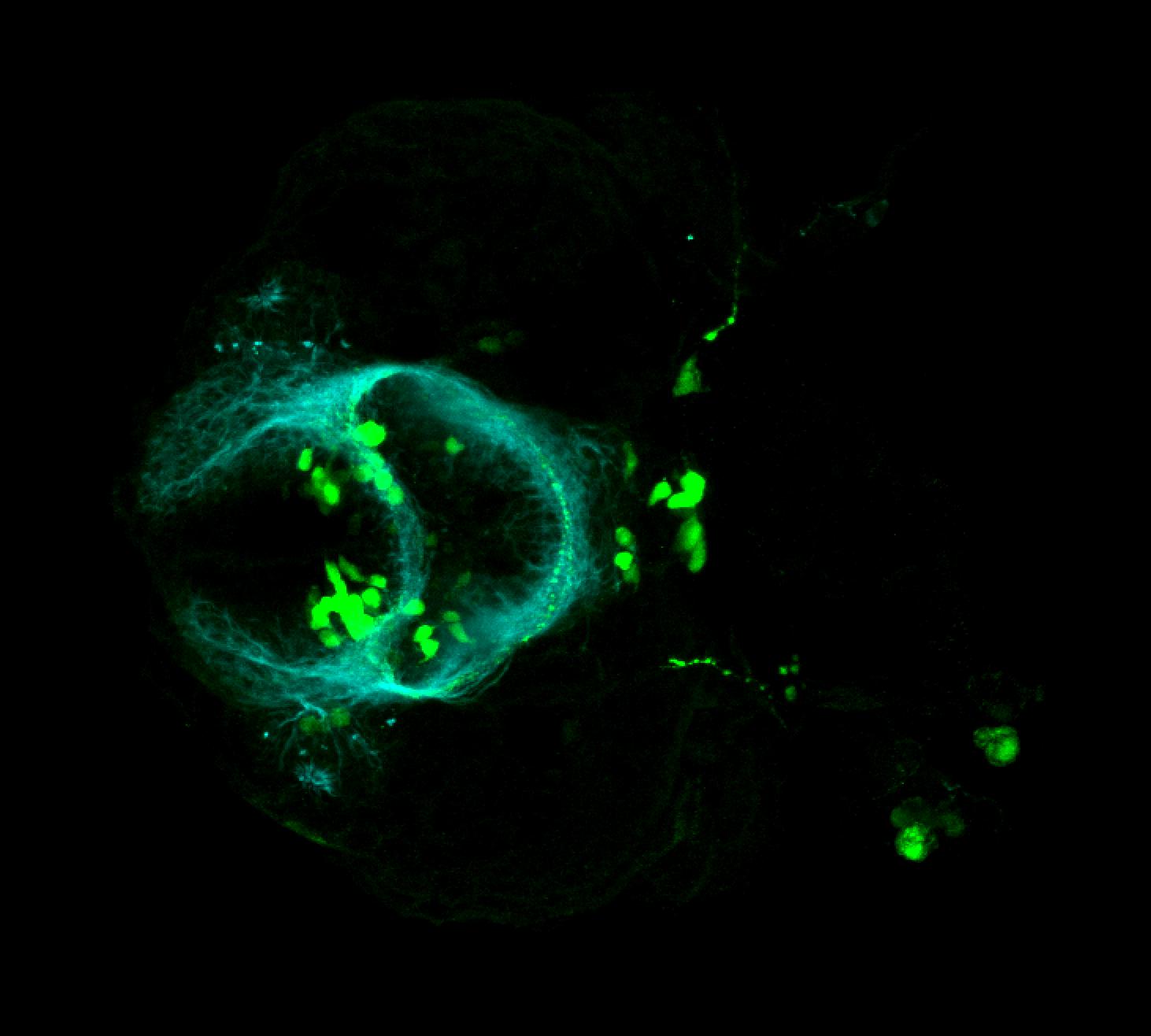 isl1:GFP ventral 36hpf