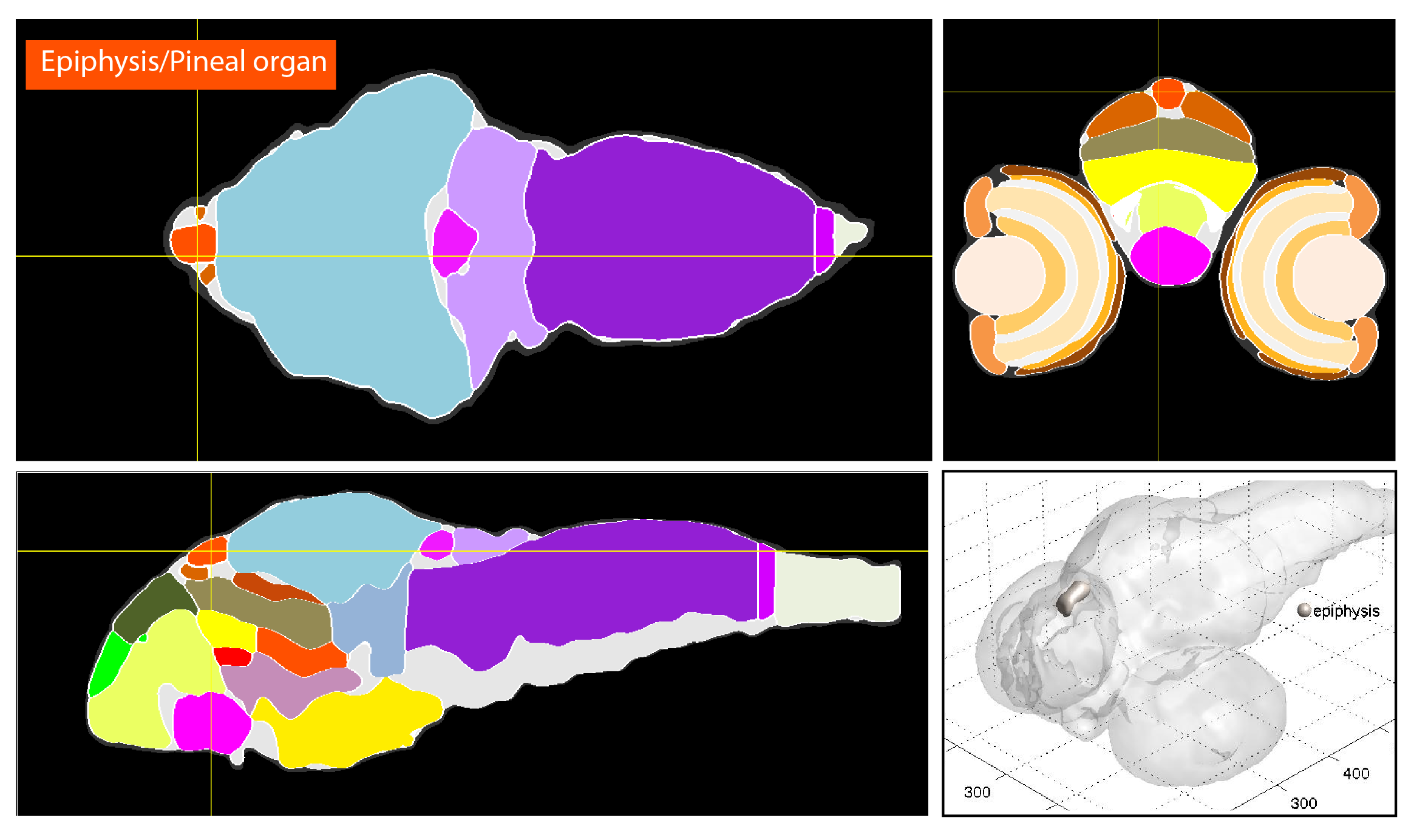 Anatomical segmentation of 3 day old zebrafish larval brain by Thomas Müller, Olaf Ronneberger, Wolfgang Driever and colleagues. For details see Ronneberger et al., Nat. Meth. 2012 and  http://vibez.informatik.uni-freiburg.de