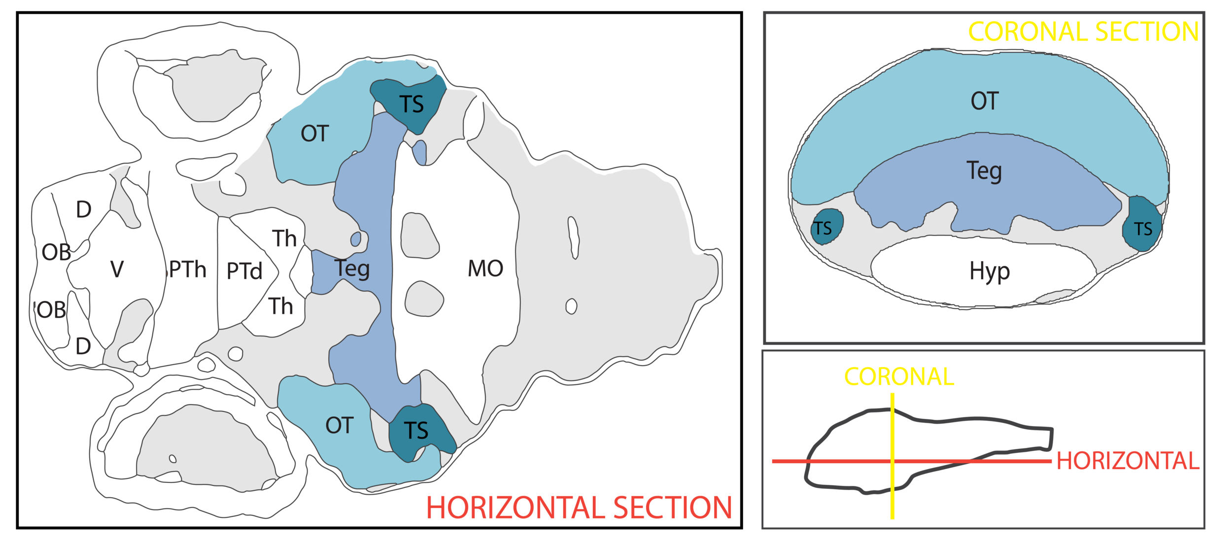Schematic showing the regions that comprise the midbrain using the anatomical segmentation of 3 day old zebrafish larval brain by Thomas Müller, Olaf Ronneberger, Wolfgang Driever and colleagues. For details see Ronneberger et al., Nat. Meth. 2012 and  http://vibez.informatik.uni-freiburg.de   Abbreviations: OT, optic tectum; Teg, tegmentum; TS, torus semicircularis.