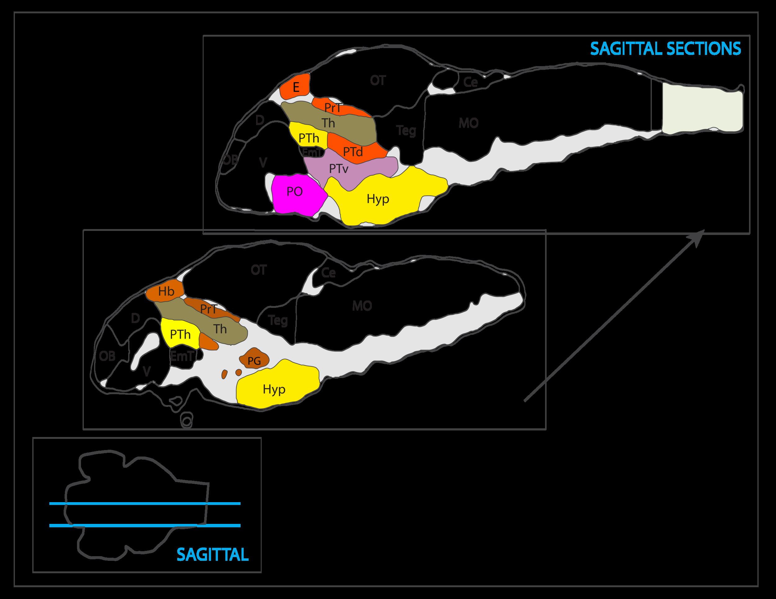 diencephalon vibez schema-46.png