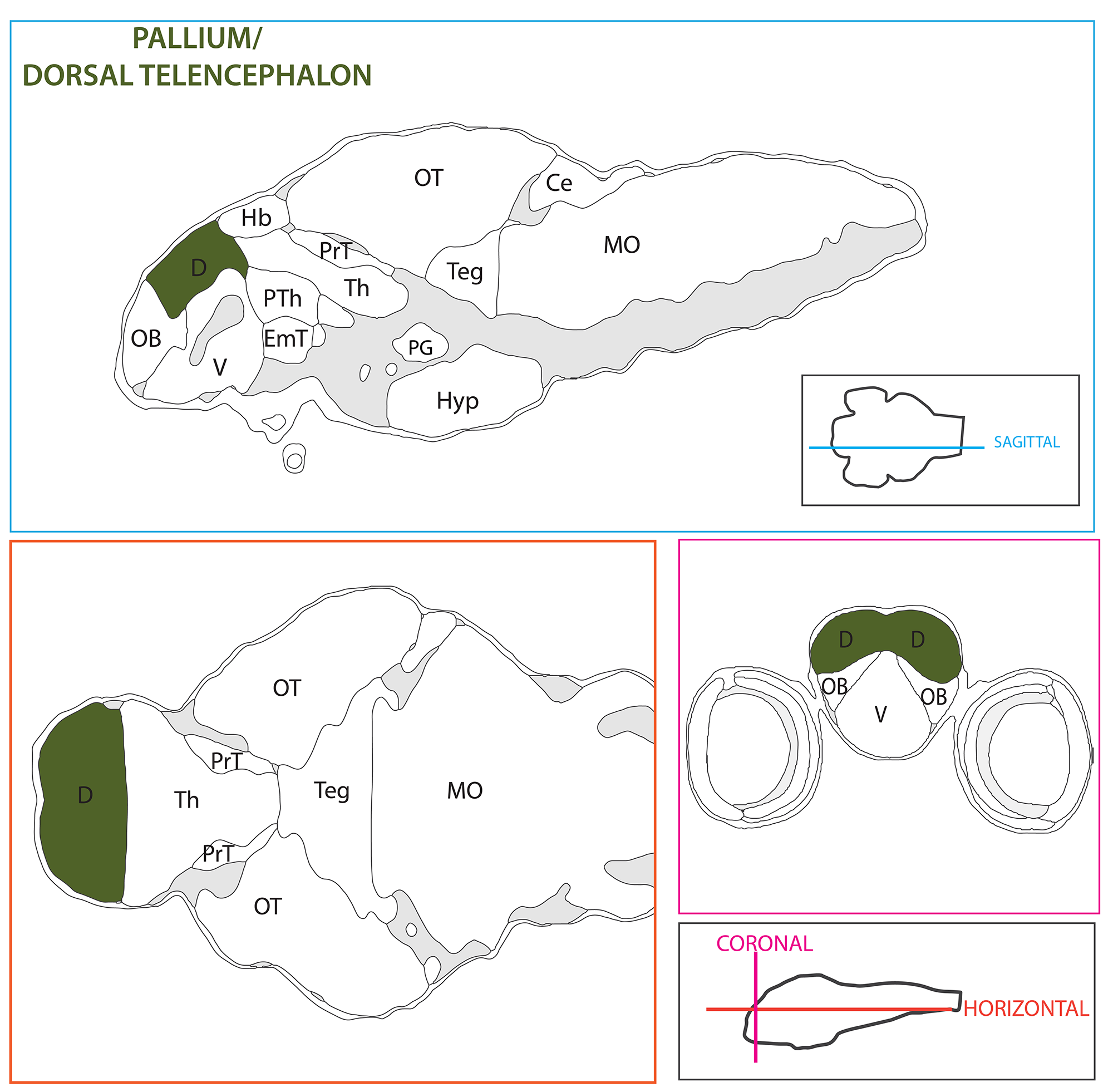 Schematic showing the position of the pallium in sagittal, horizontal and coronal sections through the zebrafish brain.  Based on the anatomical segmentation of 3 day old zebrafish larval brain by Thomas Müller, Olaf Ronneberger, Wolfgang Driever and colleagues. For details see Ronneberger et al., Nat. Meth. 2012 and   http://vibez.informatik.uni-freiburg.de     Abbreviations: Ce, cerebellar plate; D, dorsal telencephalon/pallium; E, epiphysis; EmT, eminentia thalami; Hb, habenula; Hyp, hypothalamus; MO, medulla oblongata; OB, olfactory bulb; OT, optic tectum; PG, preglomerular complex; PO, preoptic area;PrT, pretectum; PTd, posterior tuberculum dorsal part; PTh, prethalamus; PTv posterior tuberculum ventral part; Teg, tegmentum; Th, thalamus; TS, torus semicircularis; V, ventral telencephalon/subpallium; Va, valvula cerebelli.