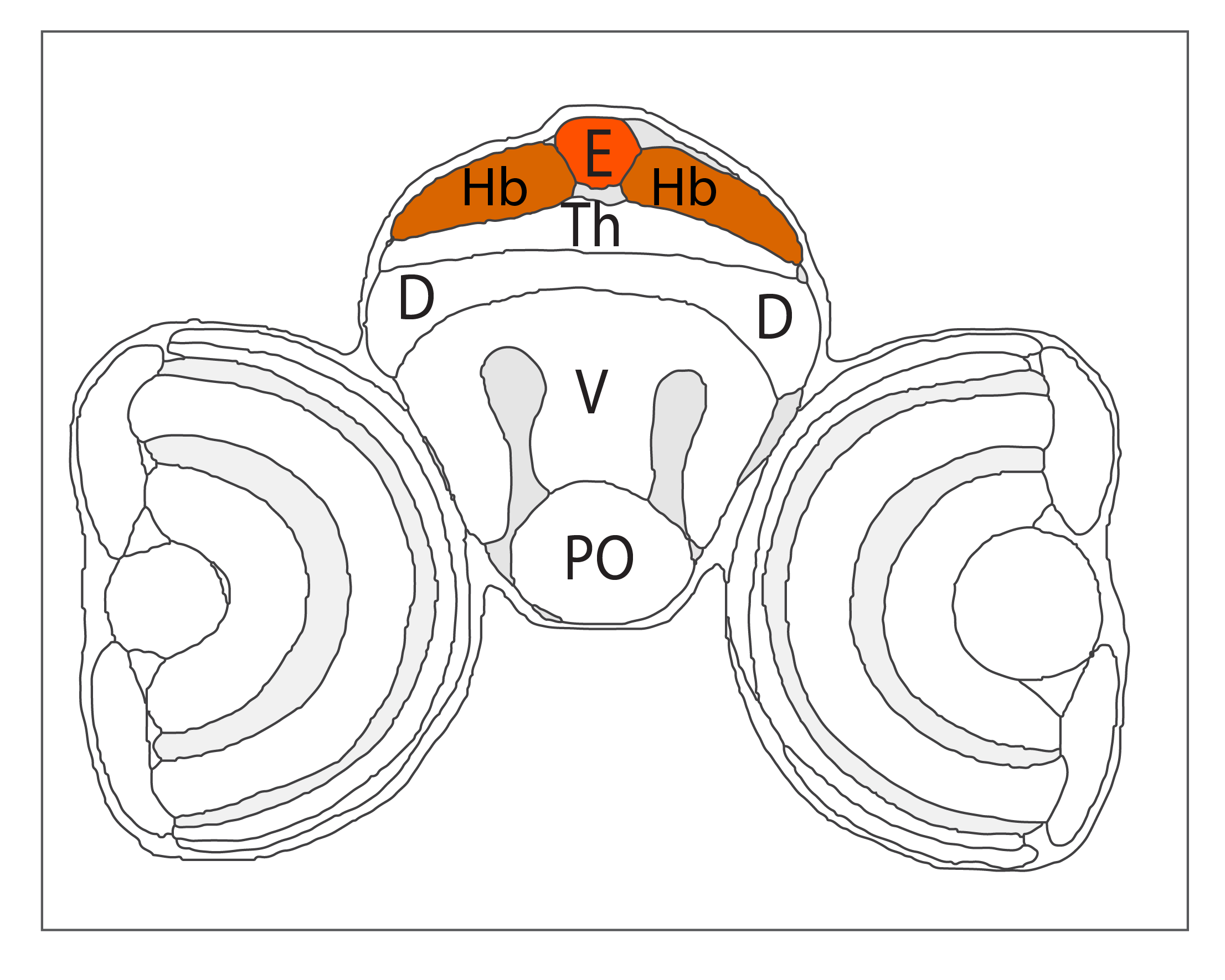 Schematic showing the position of the epitahlmus in a coronal section through the zebrafish brain.  Based on the anatomical segmentation of 3 day old zebrafish larval brain by Thomas Müller, Olaf Ronneberger, Wolfgang Driever and colleagues. For details see Ronneberger et al., Nat. Meth. 2012 and   http://vibez.informatik.uni-freiburg.de     Abbreviations: Ce, cerebellar plate; D, dorsal telencephalon/pallium; E, epiphysis; EmT, eminentia thalami; Hb, habenula; Hyp, hypothalamus; MO, medulla oblongata; OB, olfactory bulb; OT, optic tectum; PG, preglomerular complex; PO, preoptic area;PrT, pretectum; PTd, posterior tuberculum dorsal part; PTh, prethalamus; PTv posterior tuberculum ventral part; Teg, tegmentum; Th, thalamus; TS, torus semicircularis; V, ventral telencephalon/subpallium; Va, valvula cerebelli.