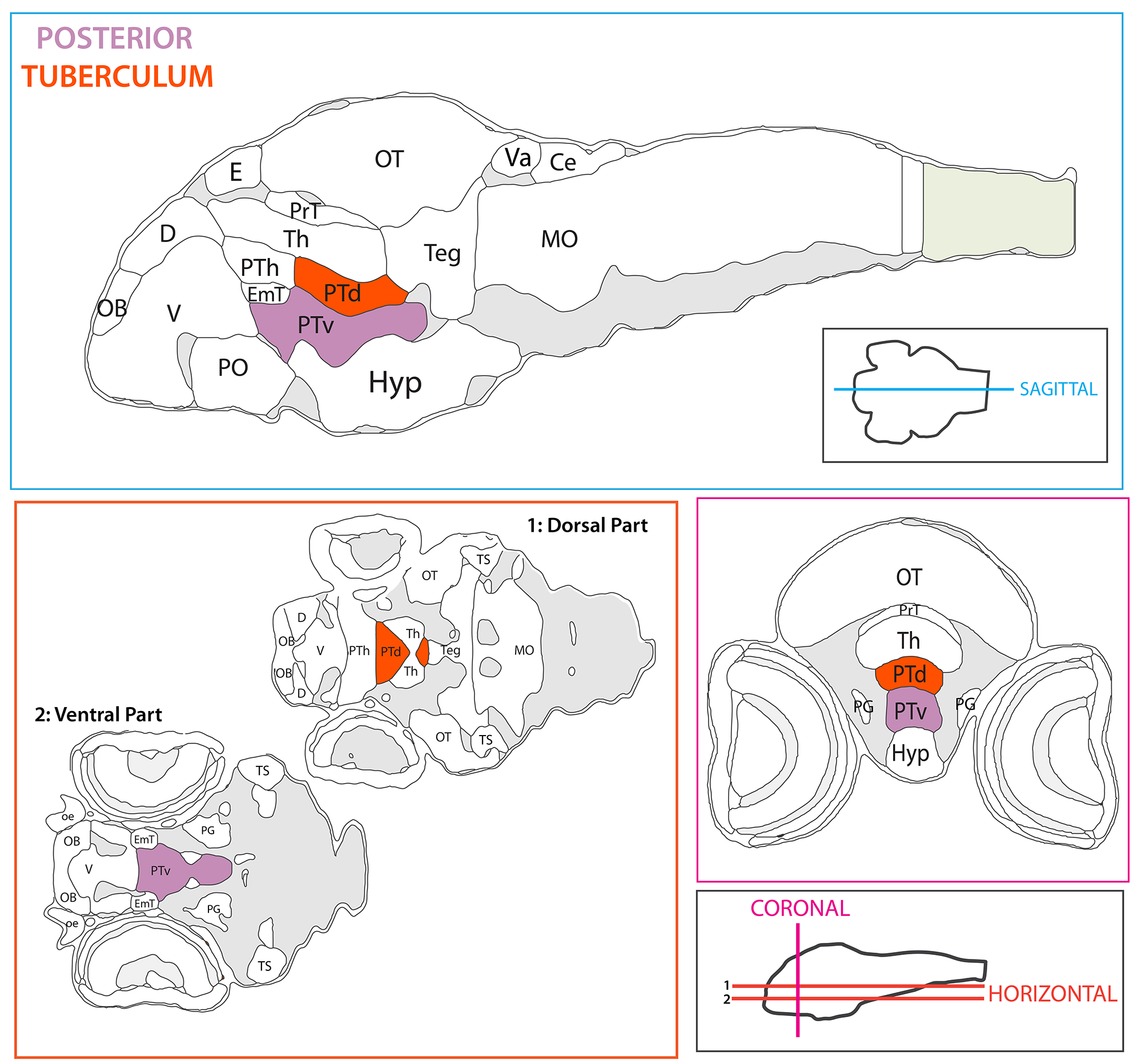 Schematic showing the position of the posterior tuberculum split into dorsal and ventral regions in sagittal, horizontal and coronal sections through the zebrafish brain.  Based on the anatomical segmentation of 3 day old zebrafish larval brain by Thomas Müller, Olaf Ronneberger, Wolfgang Driever and colleagues. For details see Ronneberger et al., Nat. Meth. 2012 and  http://vibez.informatik.uni-freiburg.de   Abbreviations: Ce, cerebellar plate; D, dorsal telencephalon/pallium; E, epiphysis; EmT, eminentia thalami; Hb, habenula; Hyp, hypothalamus; MO, medulla oblongata; OB, olfactory bulb; OT, optic tectum; PG, preglomerular complex; PO, preoptic area;PrT, pretectum; PTd, posterior tuberculum dorsal part; PTh, prethalamus; PTv posterior tuberculum ventral part; Teg, tegmentum; Th, thalamus; TS, torus semicircularis; V, ventral telencephalon/subpallium; Va, valvula cerebelli.