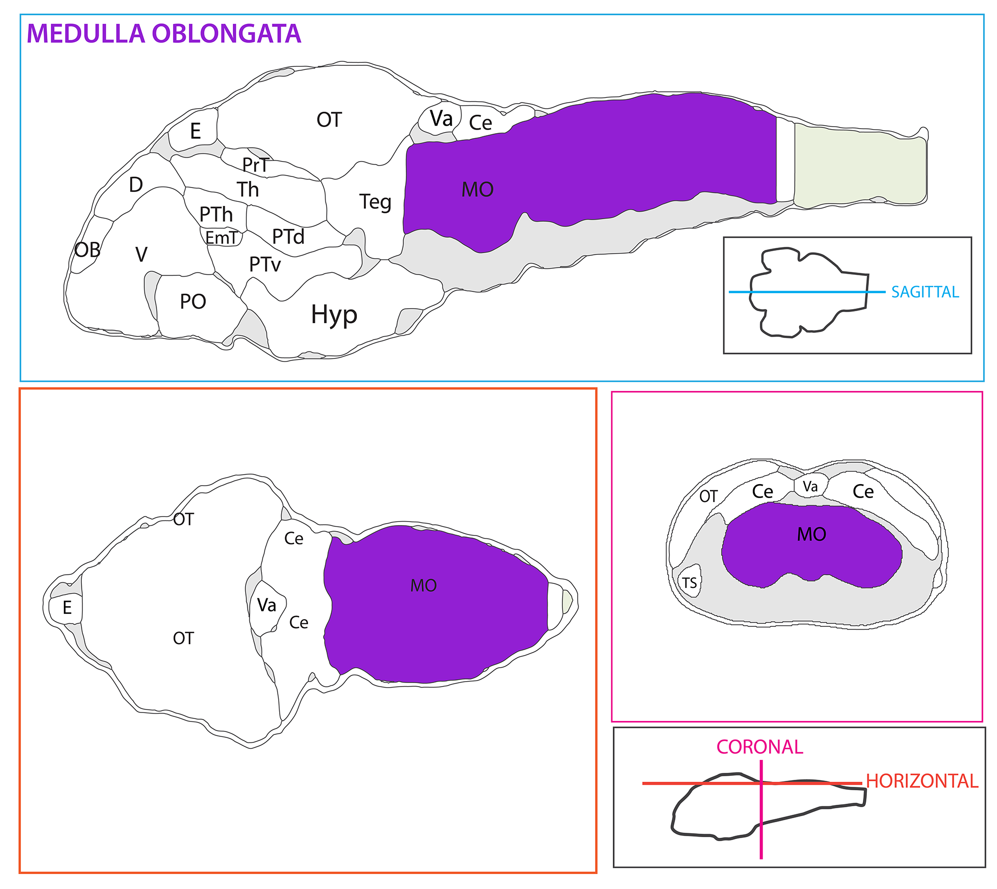 Schematic showing the position of the medulla oblongata in sagittal, horizontal and coronal sections through the zebrafish brain.  Based on the anatomical segmentation of 3 day old zebrafish larval brain by Thomas Müller, Olaf Ronneberger, Wolfgang Driever and colleagues. For details see Ronneberger et al., Nat. Meth. 2012 and  http://vibez.informatik.uni-freiburg.de   Abbreviations: Ce, cerebellar plate; D, dorsal telencephalon/pallium; E, epiphysis; EmT, eminentia thalami; Hb, habenula; Hyp, hypothalamus; MO, medulla oblongata; OB, olfactory bulb; OT, optic tectum; PG, preglomerular complex; PO, preoptic area;PrT, pretectum; PTd, posterior tuberculum dorsal part; PTh, prethalamus; PTv posterior tuberculum ventral part; Teg, tegmentum; Th, thalamus; TS, torus semicircularis; V, ventral telencephalon/subpallium; Va, valvula cerebelli.