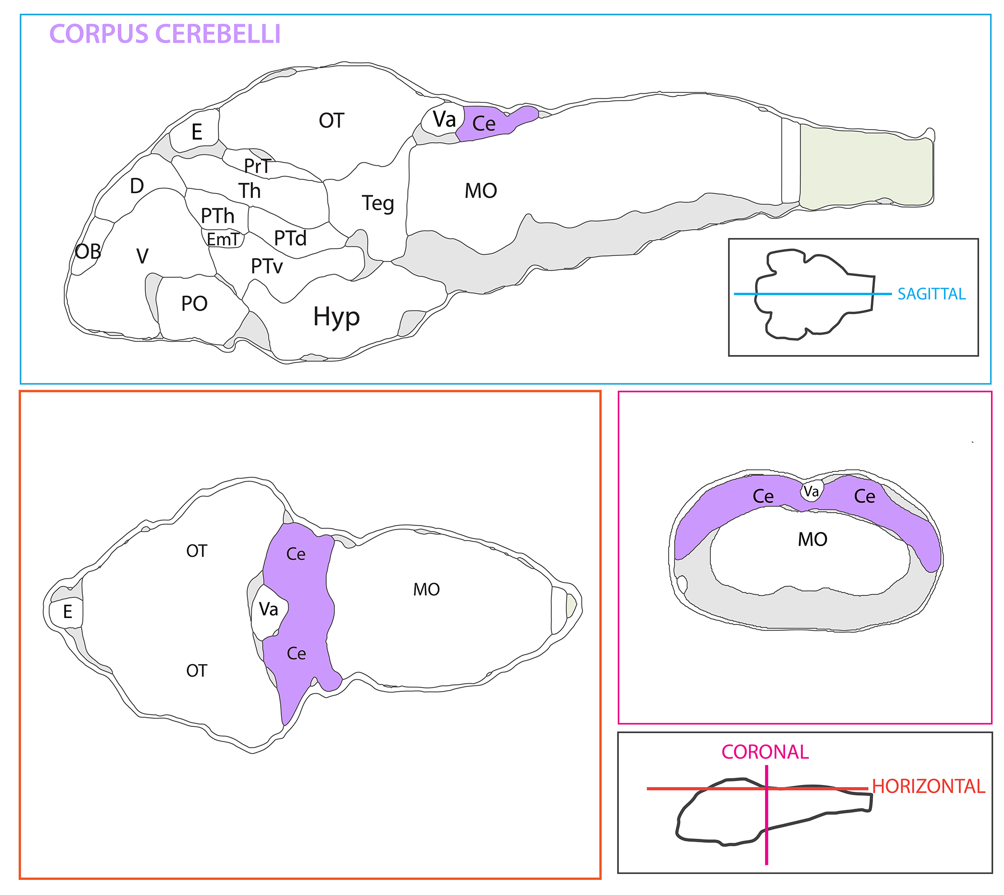 Schematic showing the position of the corpus cerebelli in sagittal, horizontal and coronal sections through the zebrafish brain.  Based on the anatomical segmentation of 3 day old zebrafish larval brain by Thomas Müller, Olaf Ronneberger, Wolfgang Driever and colleagues. For details see Ronneberger et al., Nat. Meth. 2012 and  http://vibez.informatik.uni-freiburg.de   Abbreviations: Ce, cerebellar plate; D, dorsal telencephalon/pallium; E, epiphysis; EmT, eminentia thalami; Hb, habenula; Hyp, hypothalamus; MO, medulla oblongata; OB, olfactory bulb; OT, optic tectum; PG, preglomerular complex; PO, preoptic area;PrT, pretectum; PTd, posterior tuberculum dorsal part; PTh, prethalamus; PTv posterior tuberculum ventral part; Teg, tegmentum; Th, thalamus; TS, torus semicircularis; V, ventral telencephalon/subpallium; Va, valvula cerebelli.