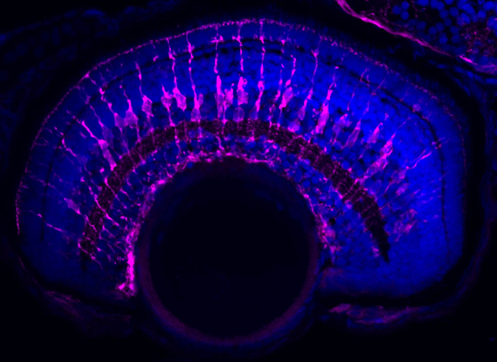 Müller glia express specific proteins that allow them to carry out their support functions in the retina. Cryosection of the zebrafish retina and immunohistochemistry for glutamine synthetase (magenta).