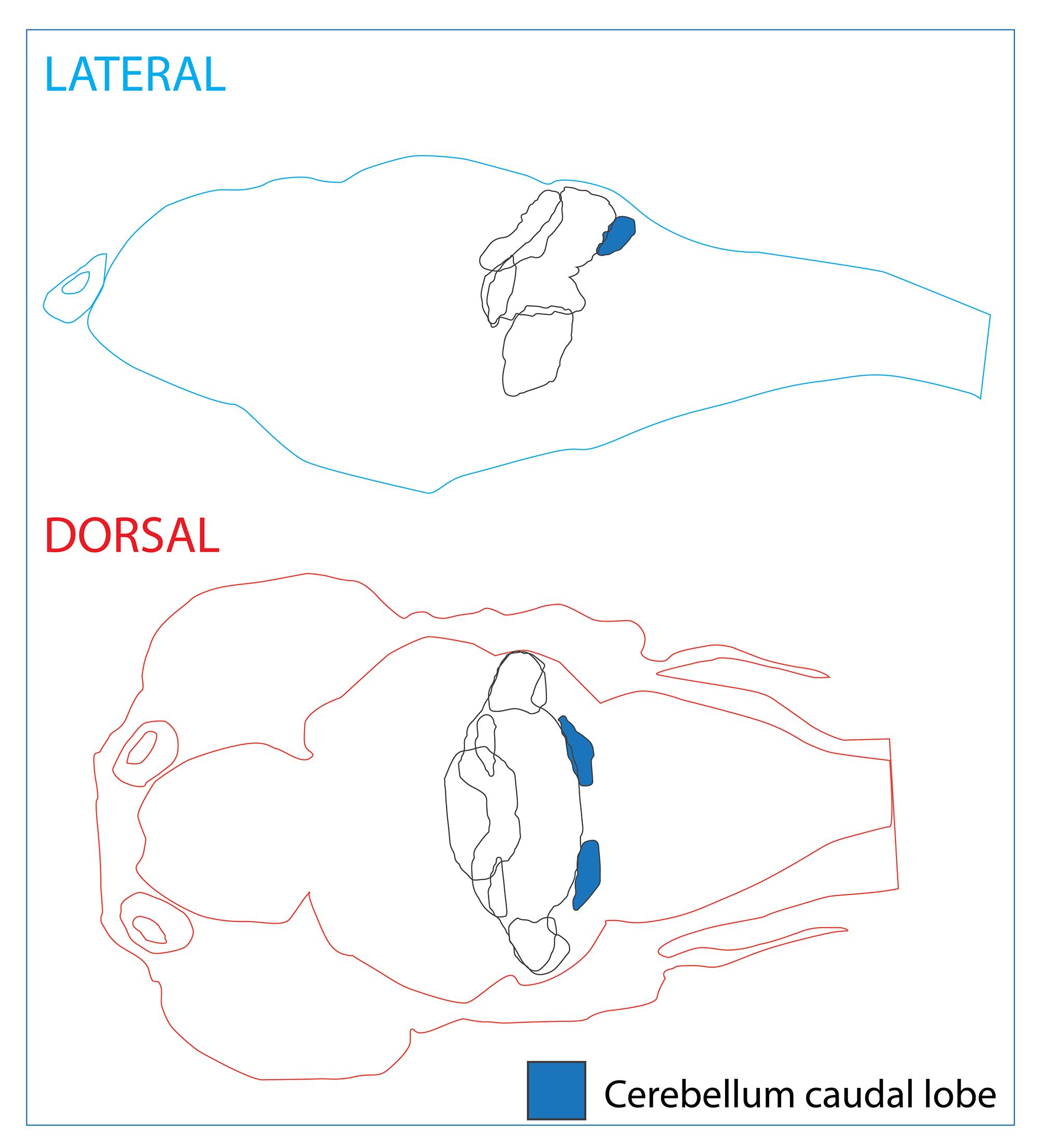 Cerebellum caudal lobe