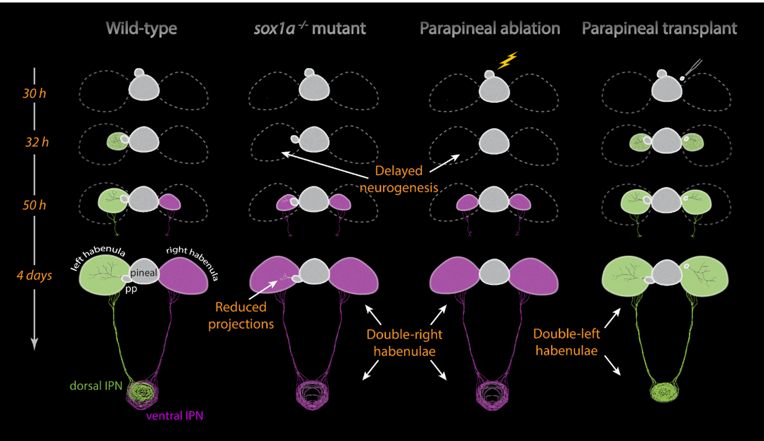 Figure 2: One of the mechanisms leading to left-right asymmetries in the zebrafish habenulae is the different timing of neurogenesis on each side. In  sox1a-/-  mutants and upon parapineal ablation the early onset of neurogenesis in the left habenula is delayed and the habenulae acquire a double-right character. Hence, in the absence of the left-sided parapineal or upon loss of  sox1a-/-  in the parapineal the left habenula becomes identical to the right habenula. Conversely, transplantation of external parapineal cells to the right side induces left-habenula characteristics in the right habenula.