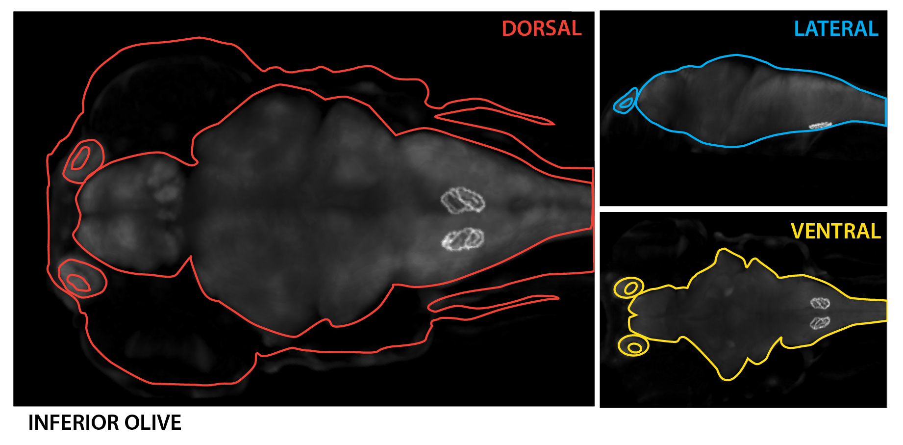 Schematic showing the position of the inferior olive at 6dpf based on the 3D anatomical segmentation used by the  Zebrafish Brain Browser  by  Gupta et al., 2018 .