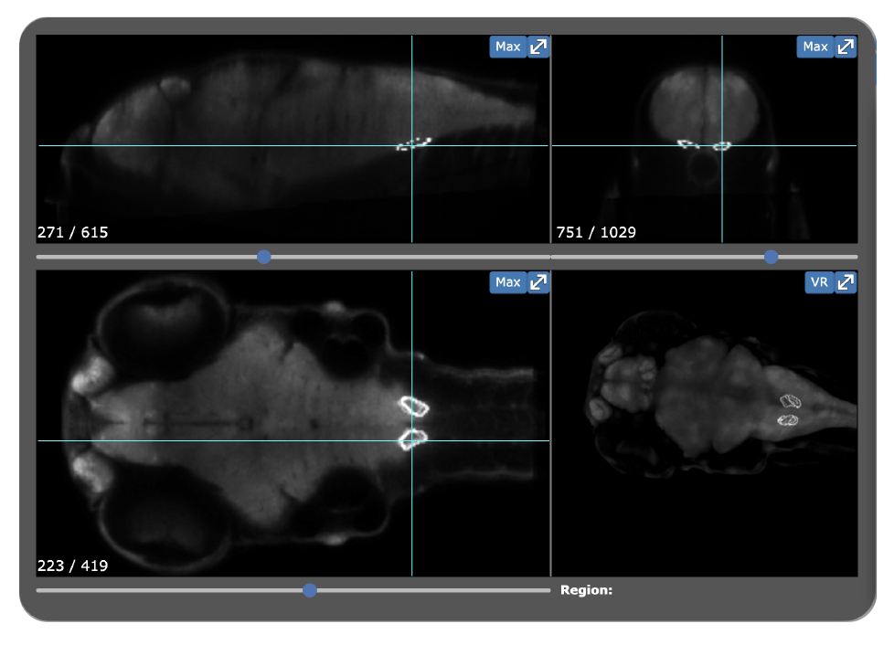Snapshot of the  Zebrafish Brain Browser  3D viewer showing the position of the inferior olive by  Gupta et al., 2018 .