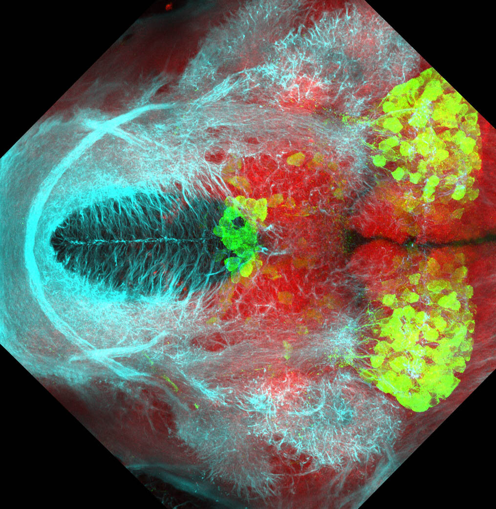 5dpf Ventral view of ETvmat2:GFP with acetylated tubulin(cyan) and SV2(red).