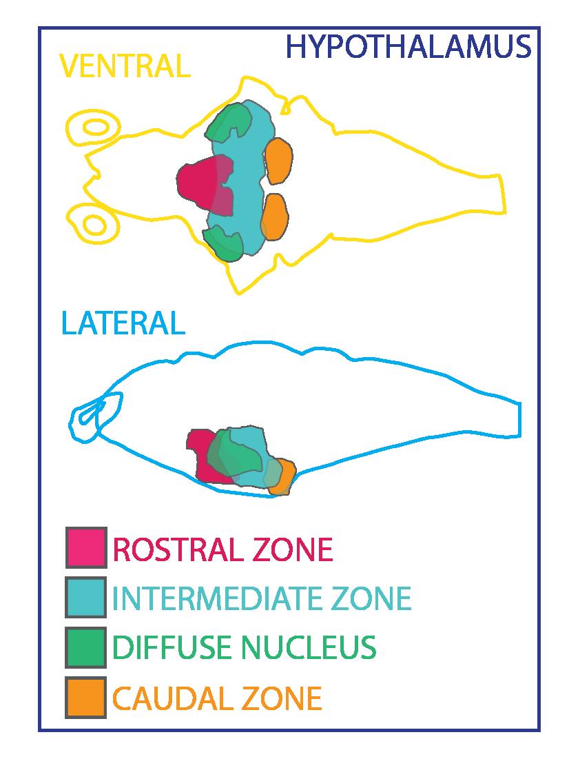hypothalamus ZBB-08.png