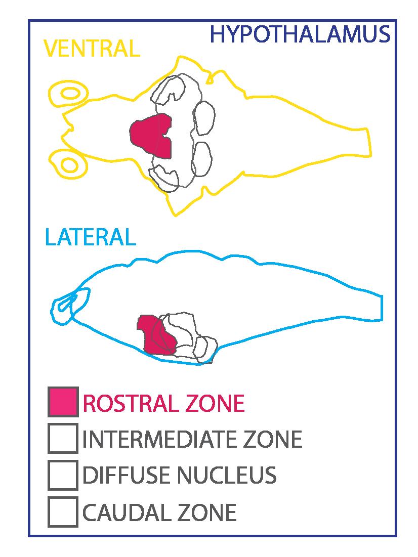 hypothalamus ZBB-07.png