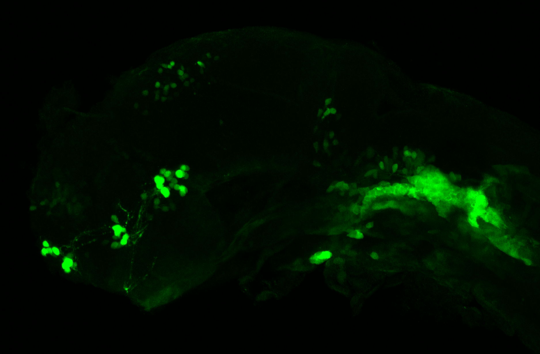 xeom:GFP 36hpf lateral