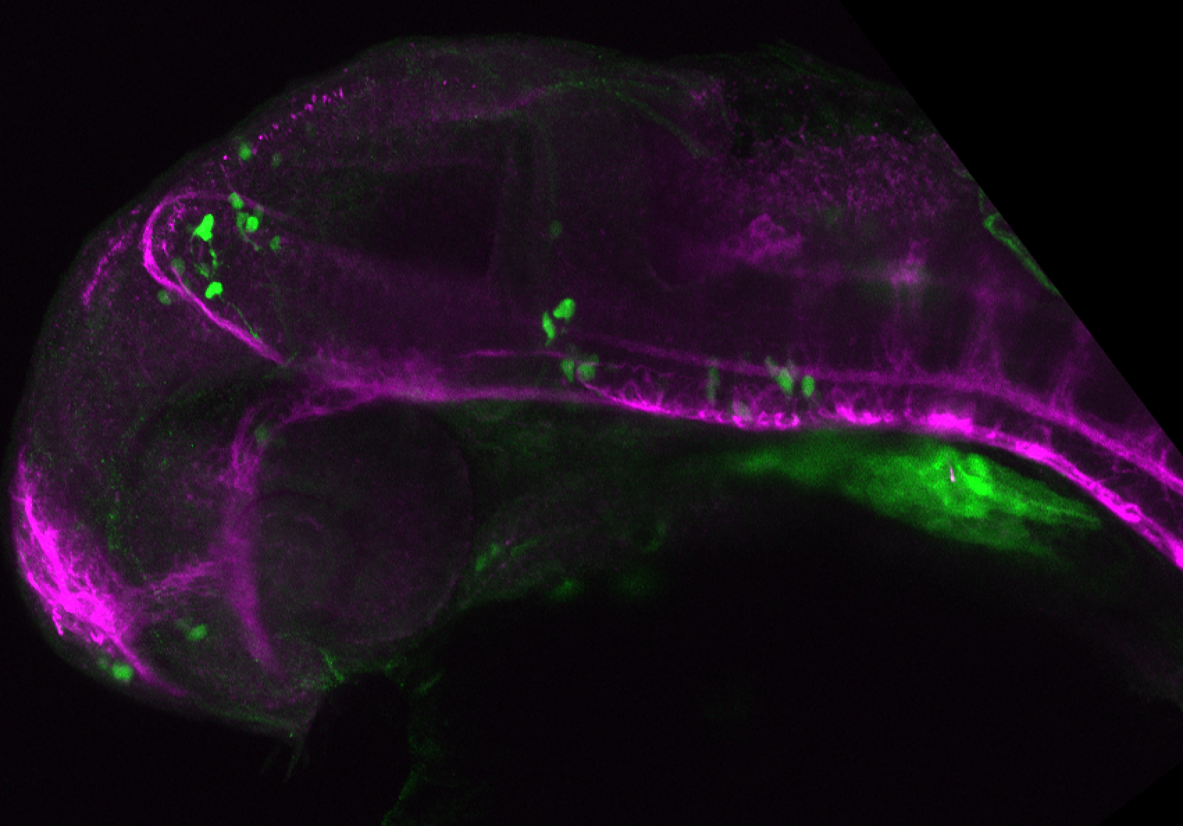xeom:GFP 36hpf lateral with tubulin(magenta).