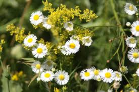 Chamomile plant with flowers.