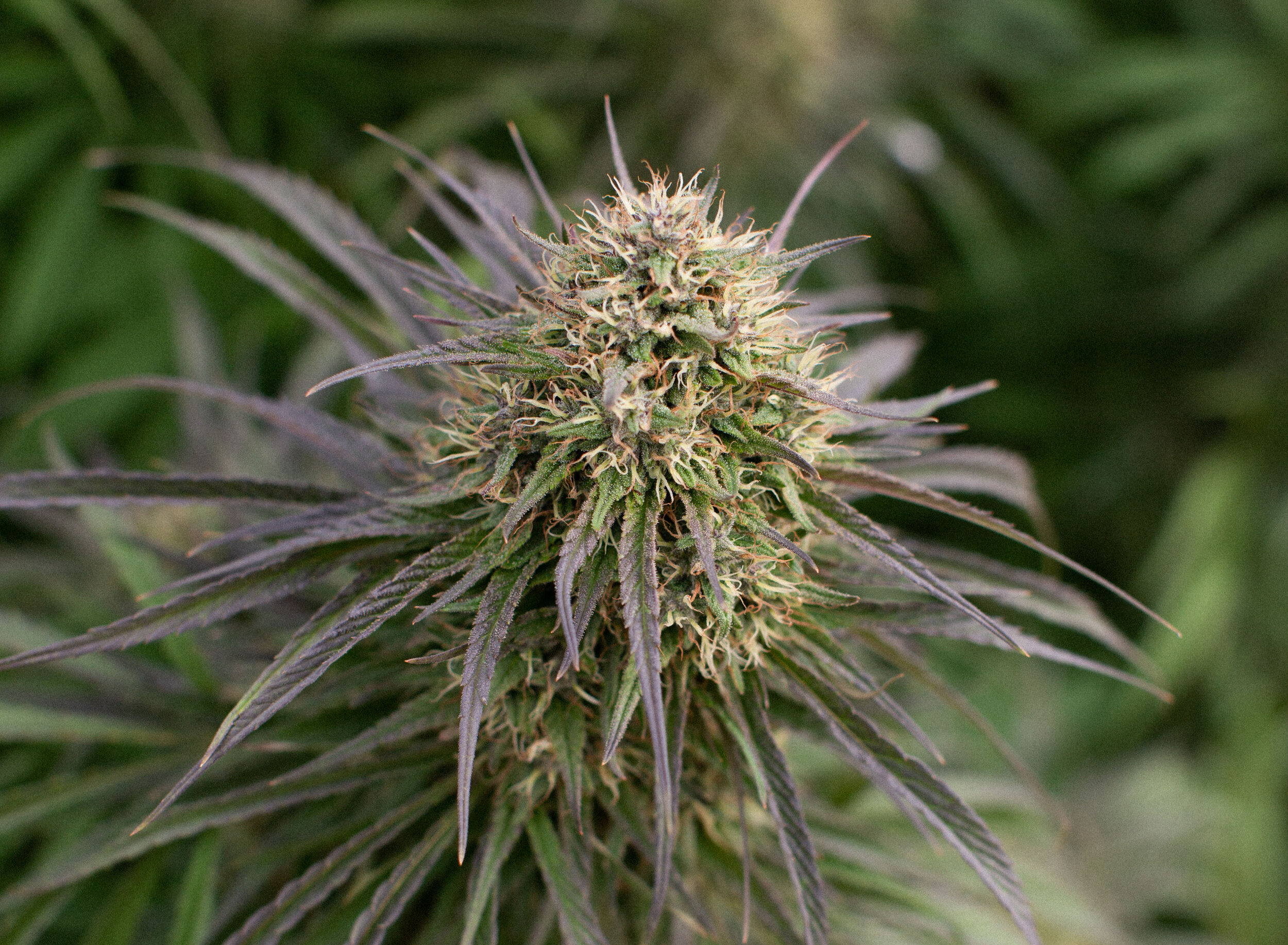 Stella Blue - Parentage: Blue Dynamite x Ringo's GiftProfile: 16-18% CBD   2-3% THC  Laboratory results coming soonNotes: Coming soon