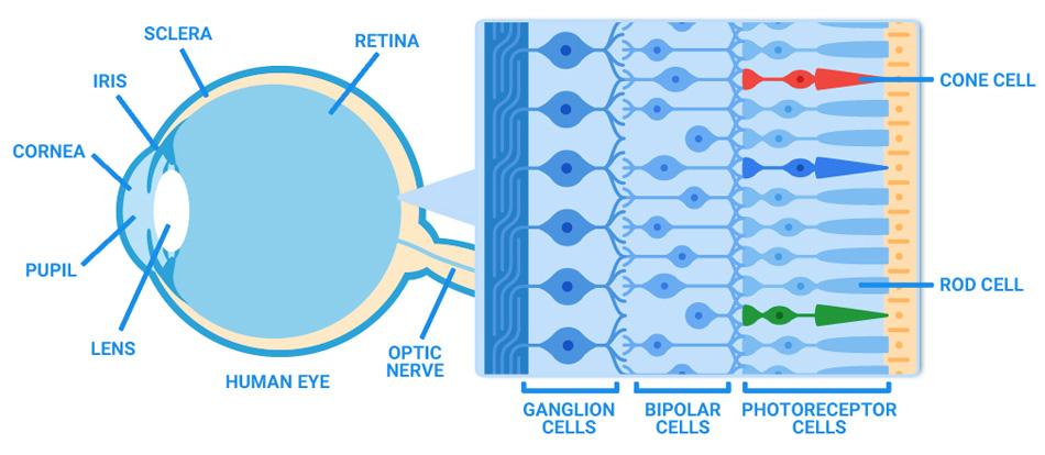 Schéma de l'oeil, la rétine se trouve au fond de celui ci. Dans la rétine, il y a les cônes (cone cells) qui voient les couleurs, et les bâtonnets (rod cell) qui voient les contrastes.
