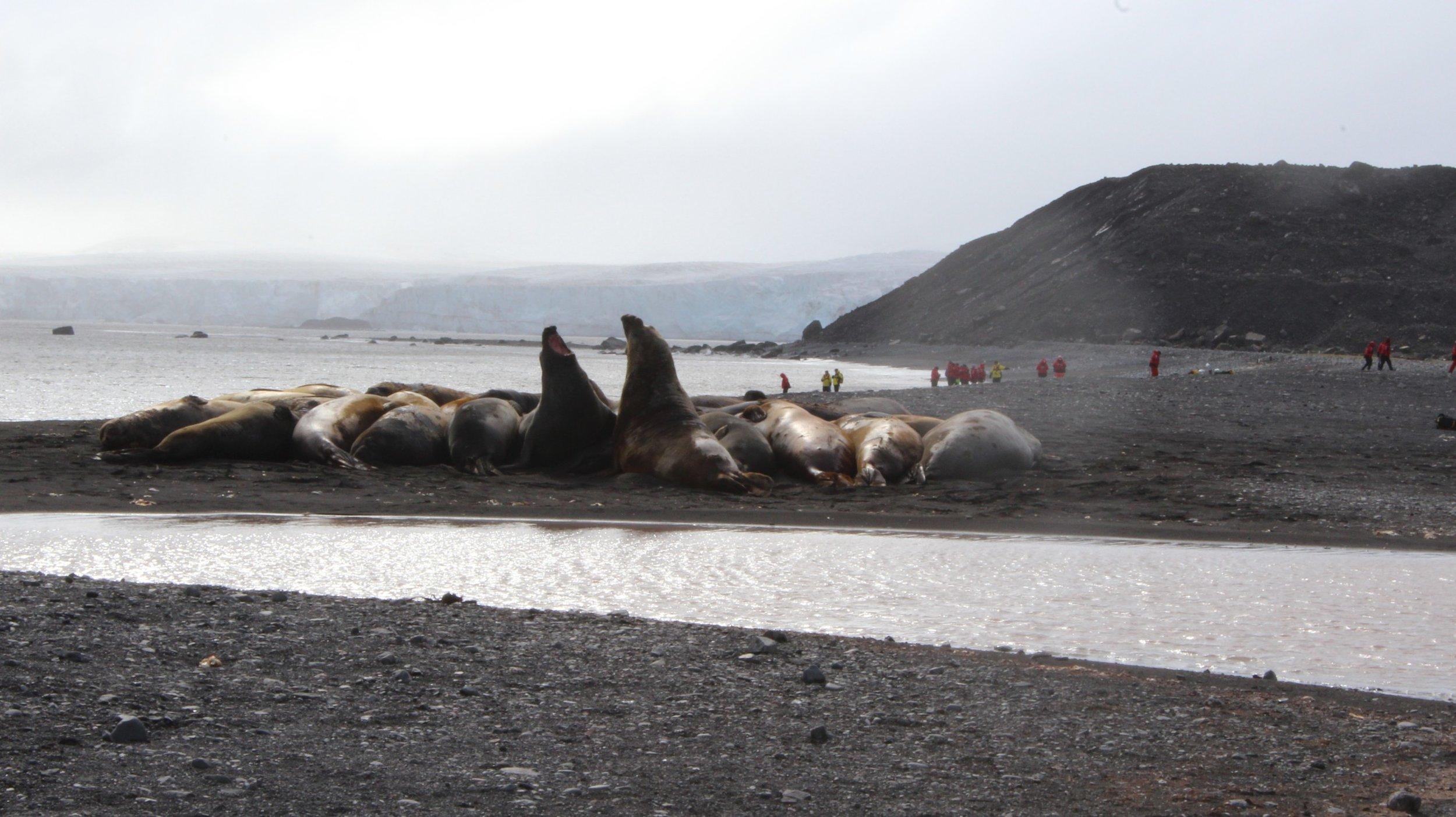 Elephant Seals on Walker Bay