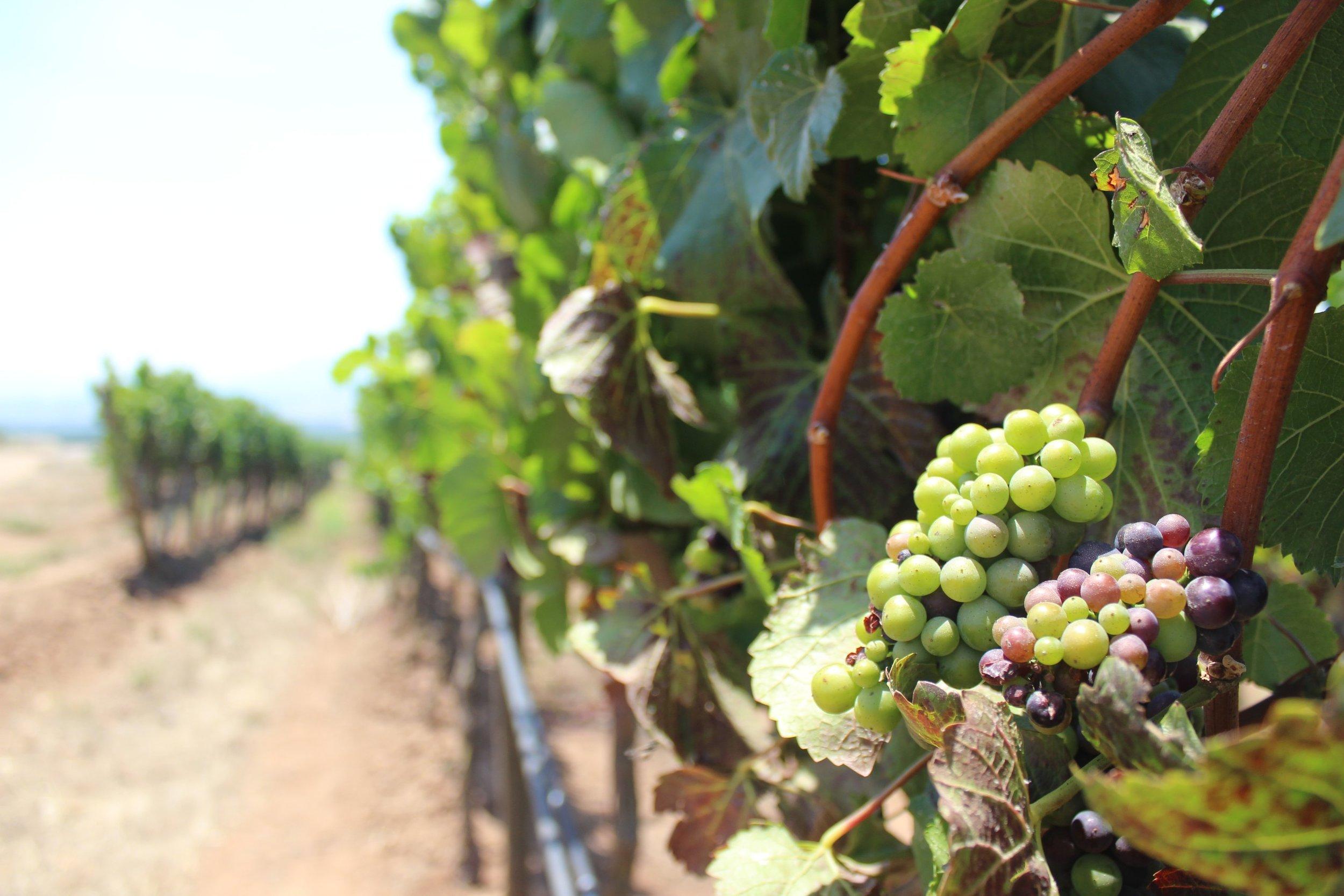 Kingston Vineyards