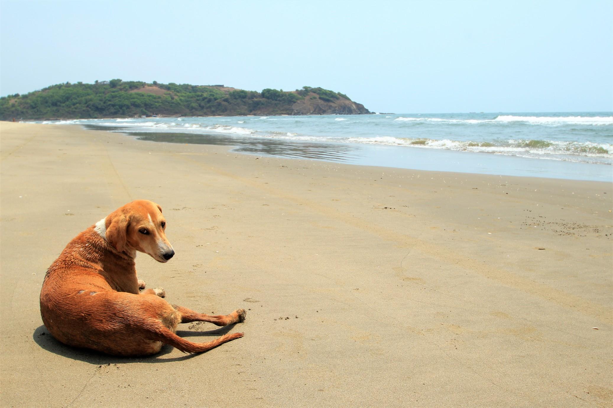 Puppy at Morjim Beach
