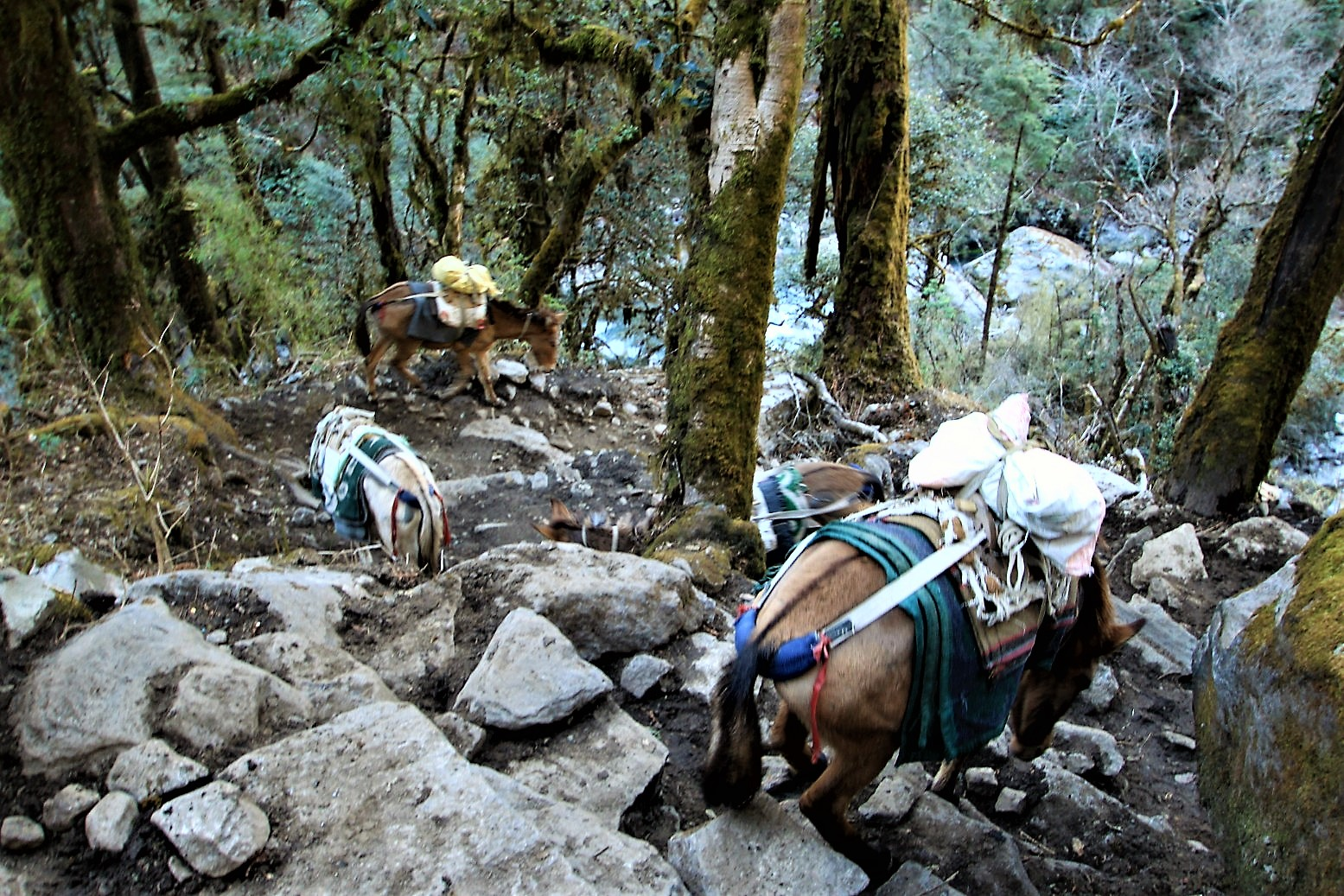 Mules carrying supplies