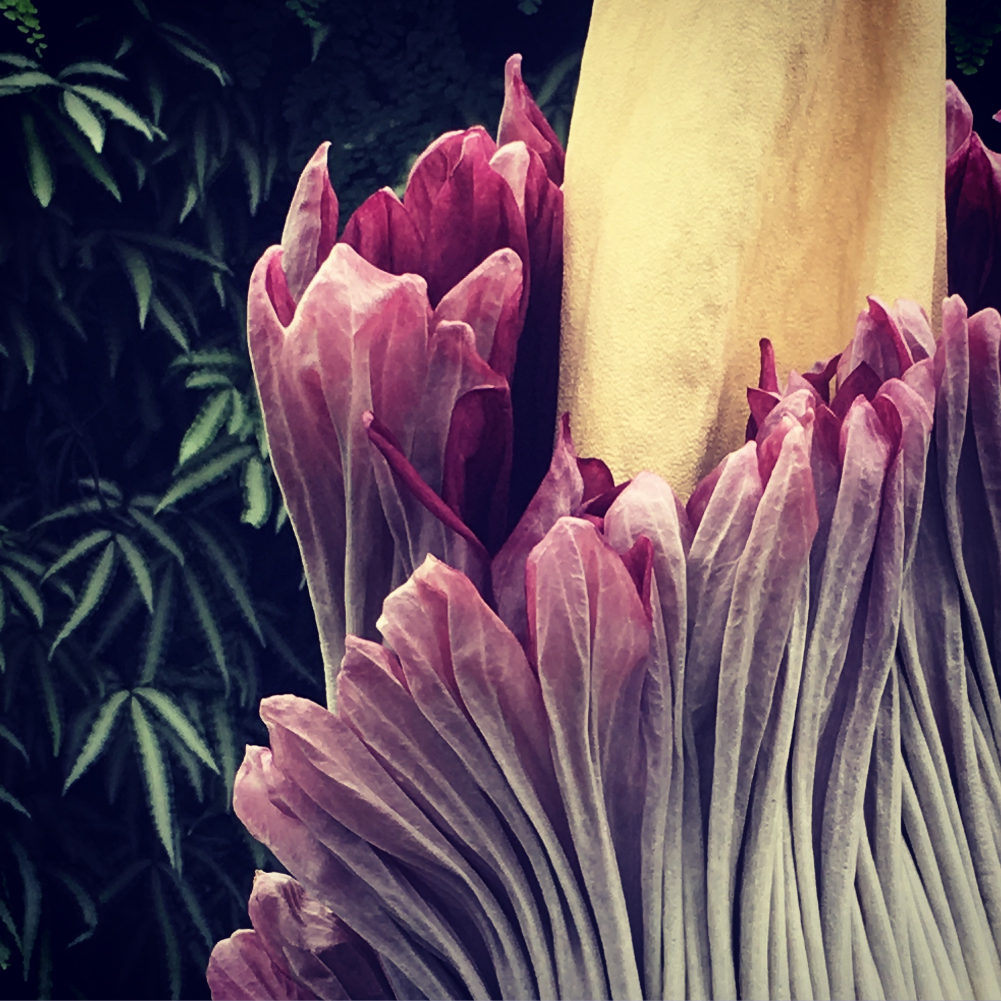 Close-up of the Suma the Titan after full bloom at San Francisco Conservatory of Flowers—Julie Daley