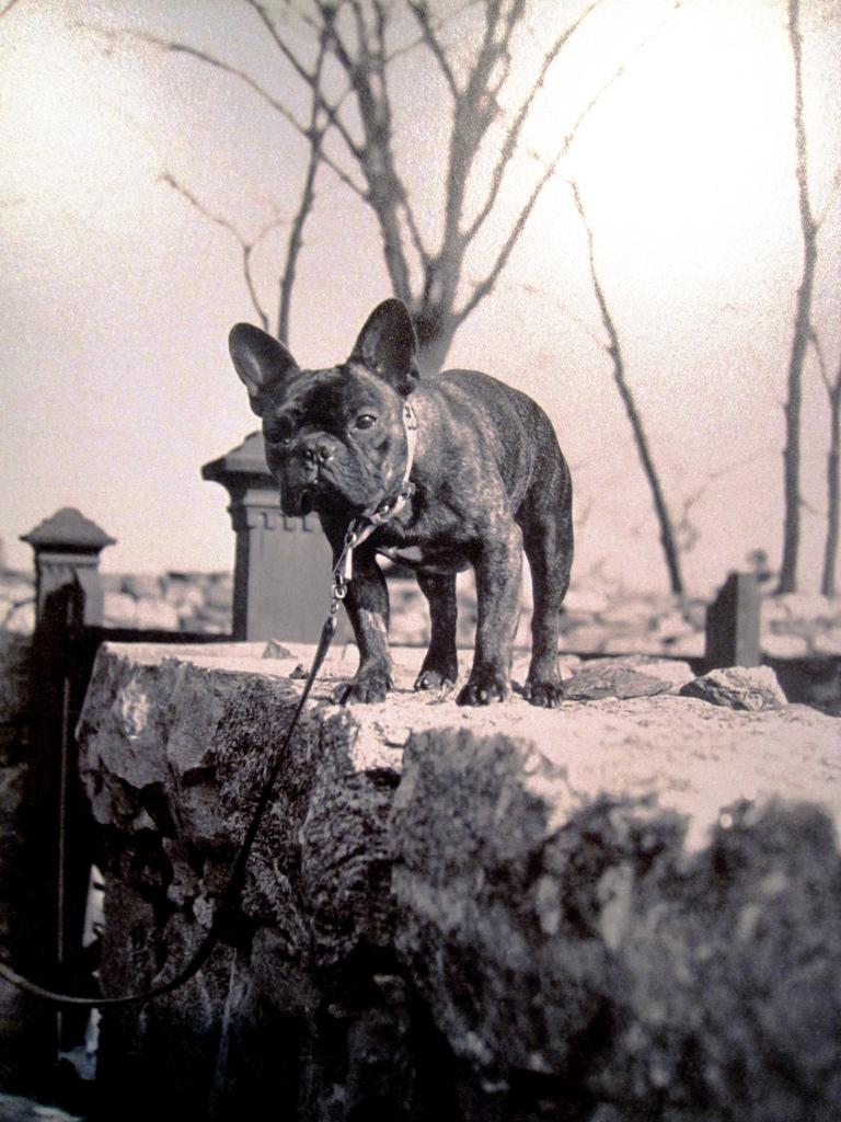 French Bulldog Owned by Warner M. Van Norden.jpg