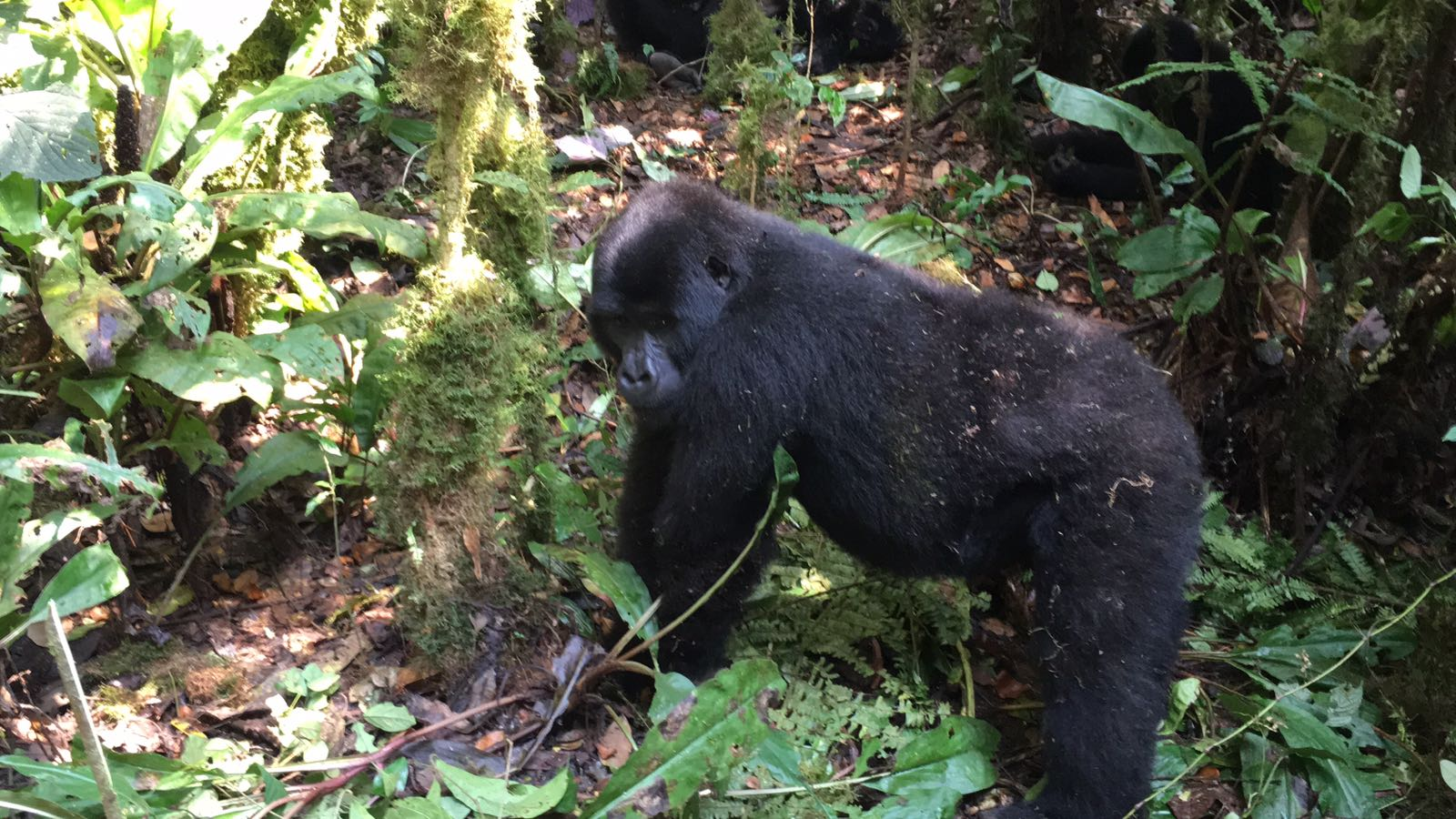 The Ultimate Guide To Mountain Gorilla Tracking In Uganda 15.jpeg