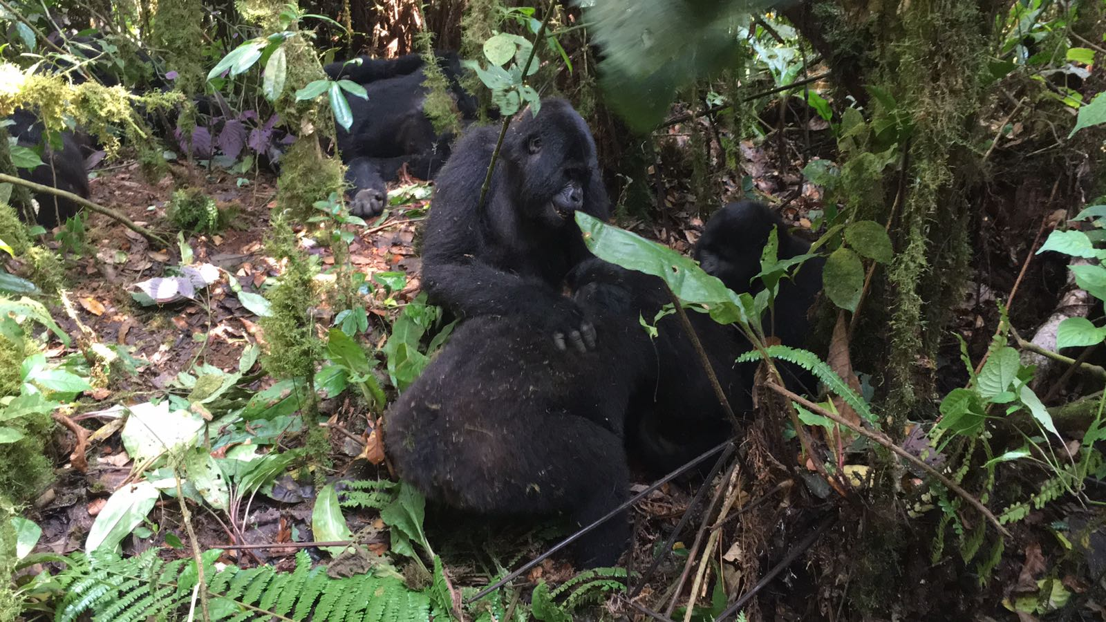 The Ultimate Guide To Mountain Gorilla Tracking In Uganda 16.jpeg