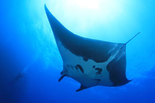 Manta-Ray-Underwater-Blue-Water-Underside.jpg.638x0_q80_crop-smart.jpg