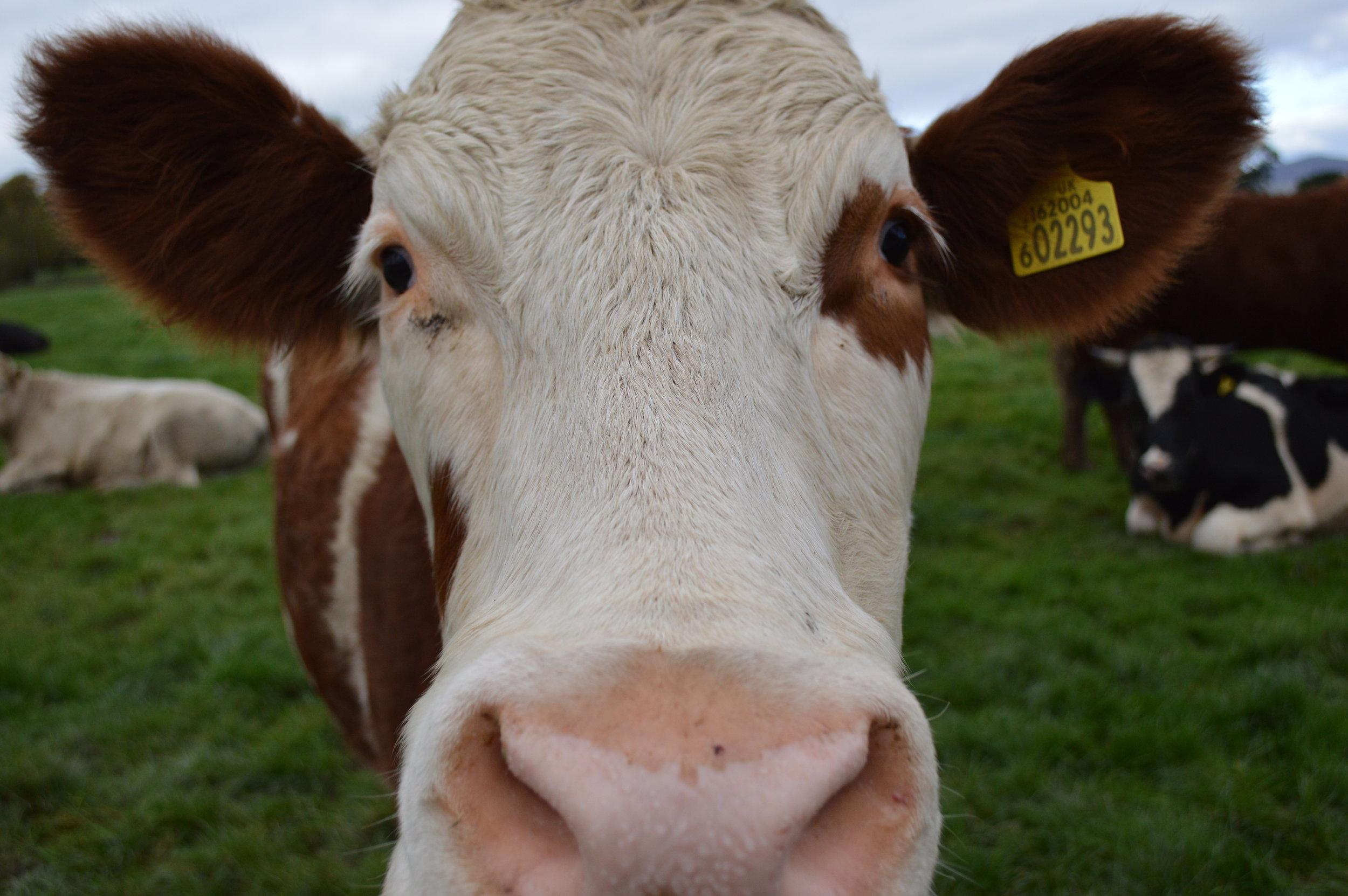 """Cow in Pasture"" by  debjam licensed under  CC 2.0"