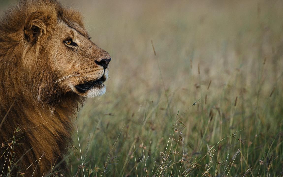 mara - land of lions -