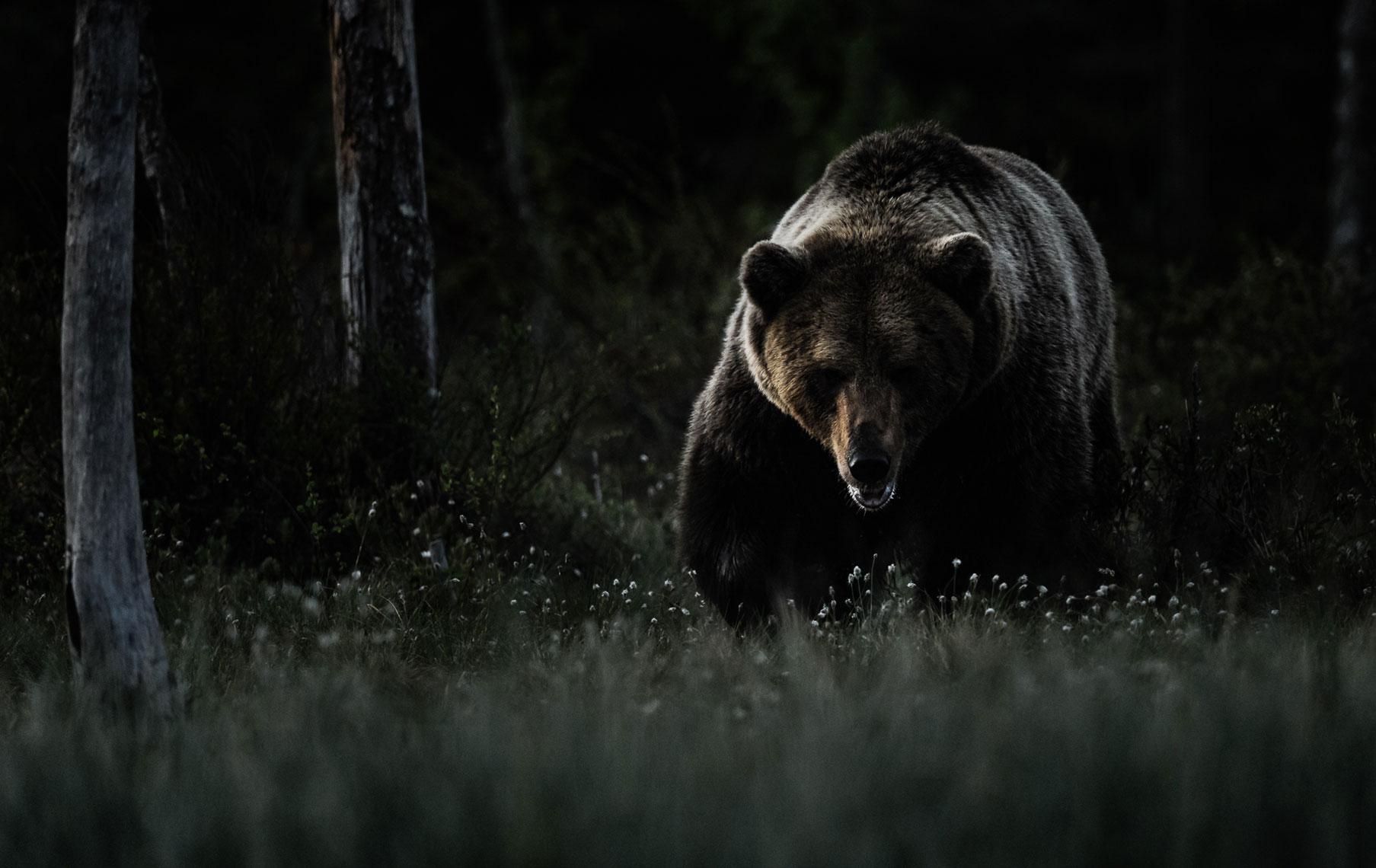ursus arctos -