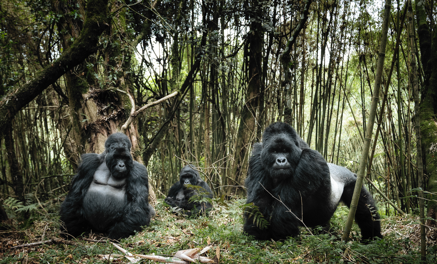Family Portrait, by photographer Chris Schmid, is on the 2018 Sony World Photography Awards shortlist. The image shows a mountain gorilla family in Mount Gahinga in Uganda.