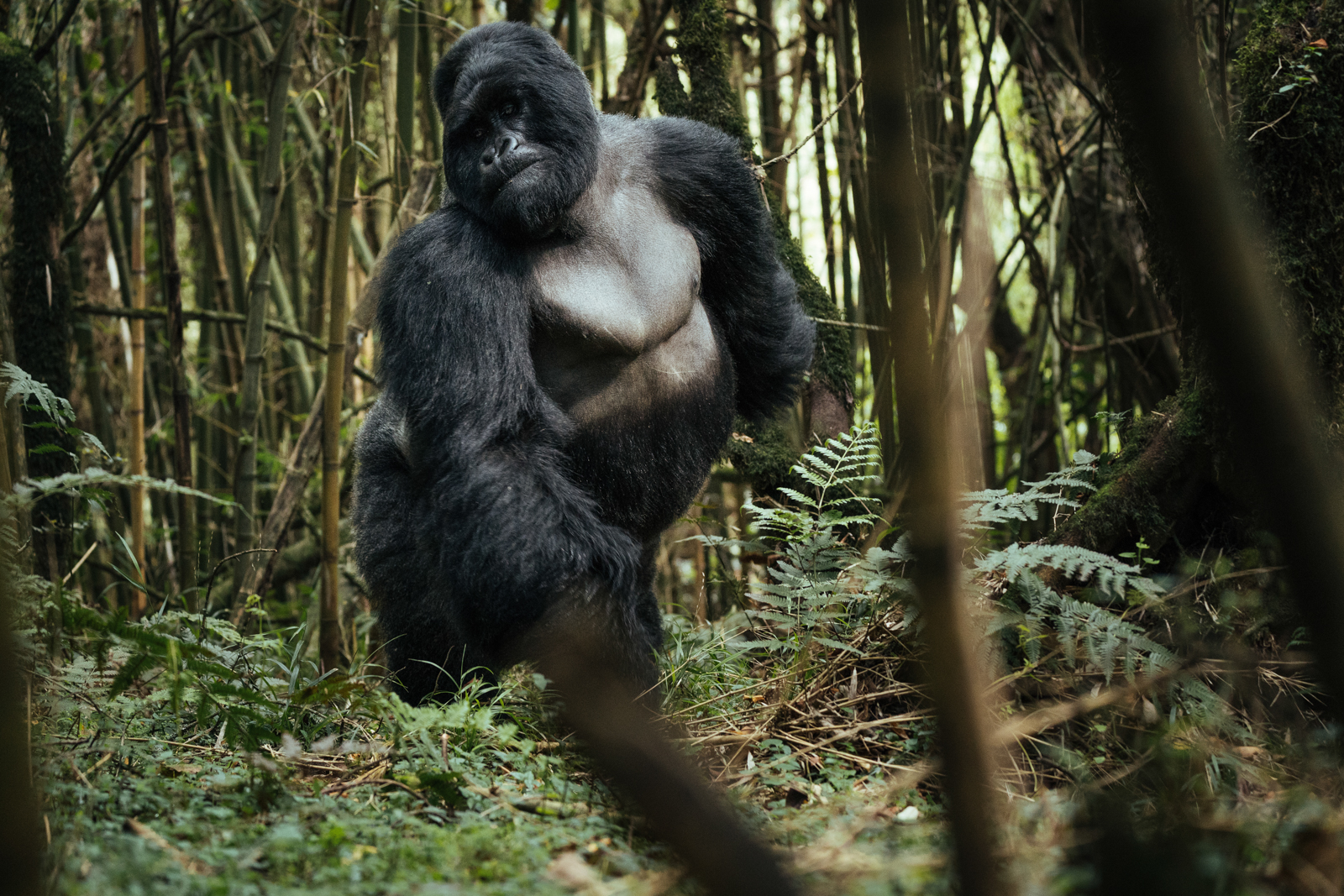 CS-170925-gorillas-002.jpg