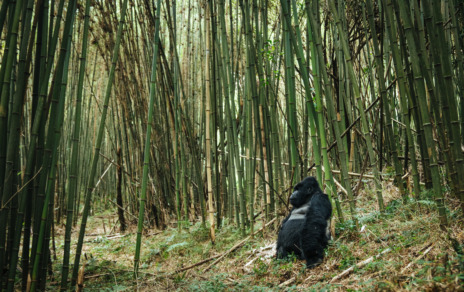 CS-170925-gorillas-001.jpg
