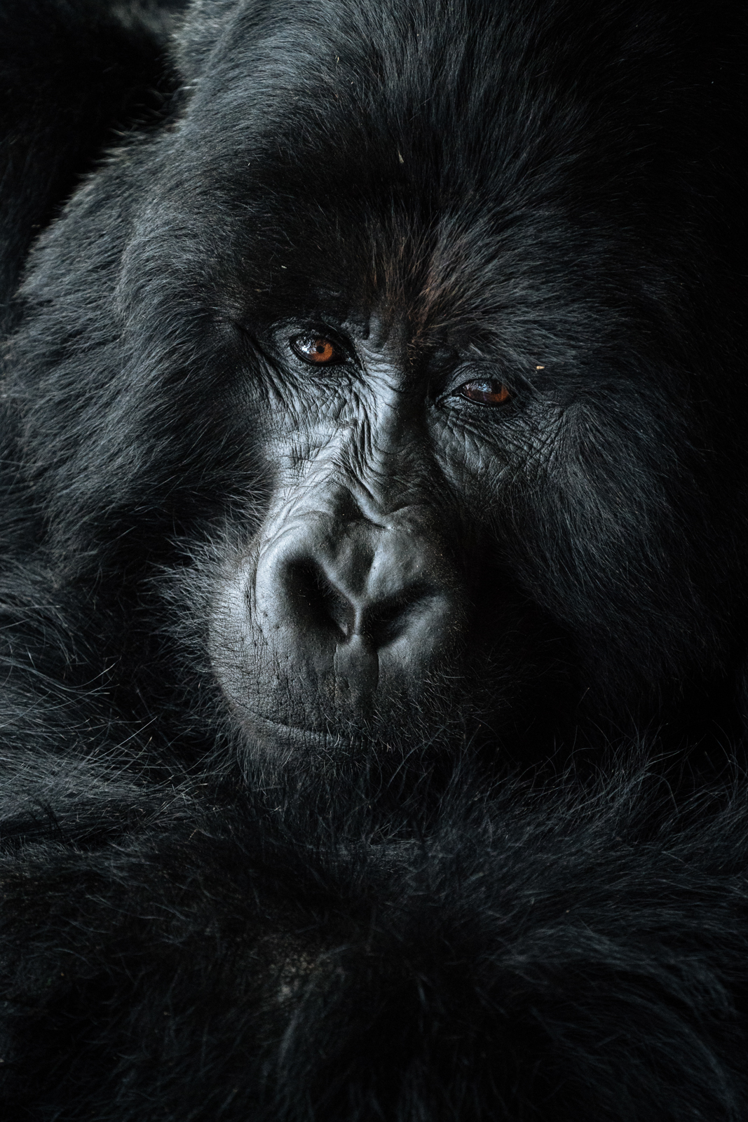 CS-170925-gorillas-003.jpg
