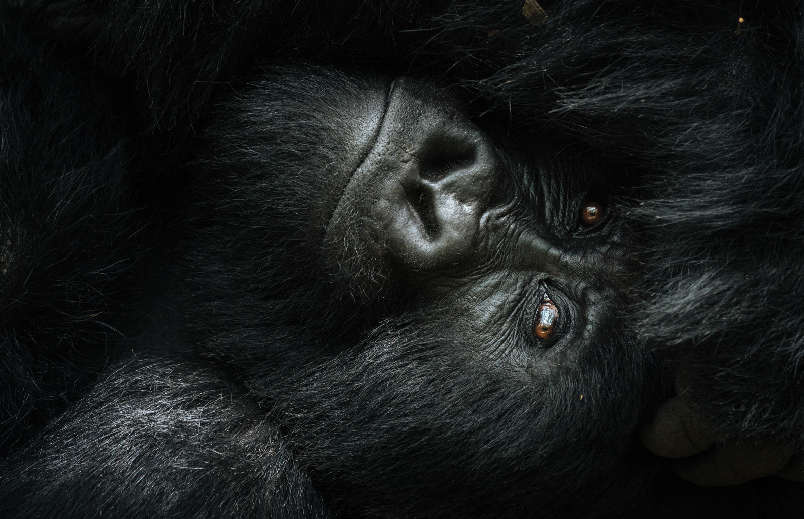 CS-170925-gorillas-004.jpg