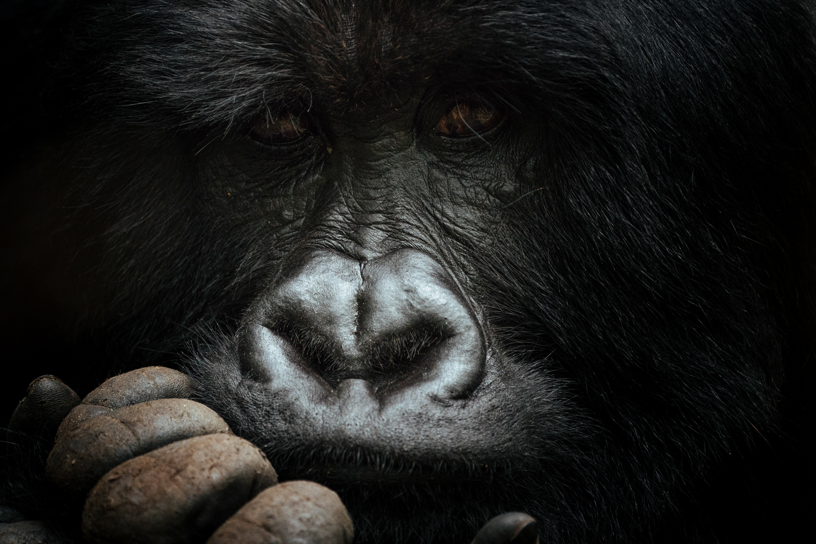 CS-170925-gorillas-005.jpg