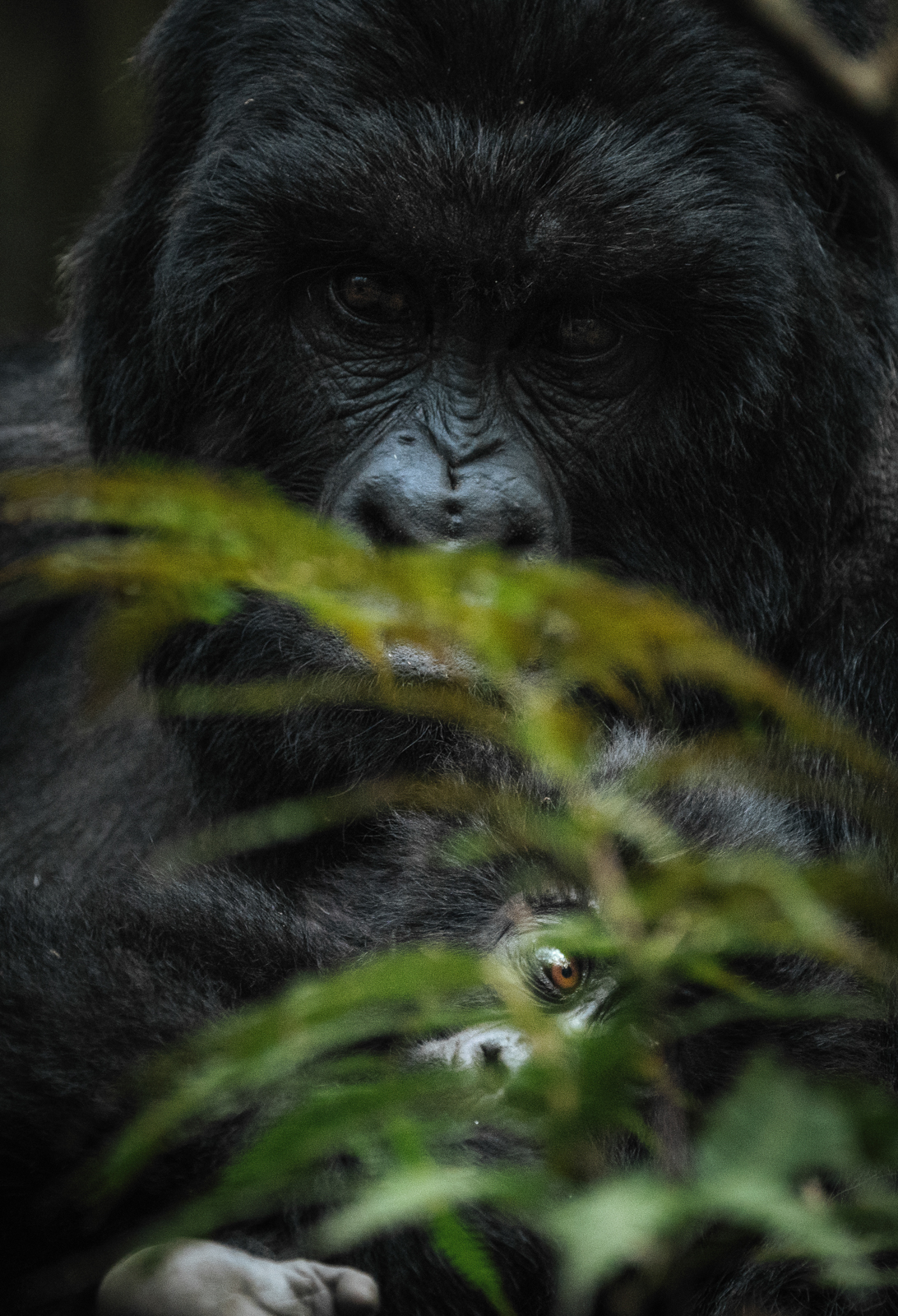 CS-170925-gorillas-006.jpg