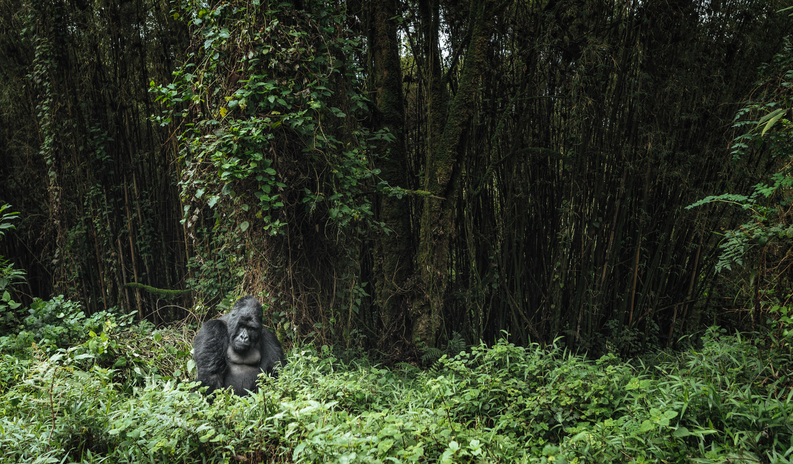 CS-170926-gorillas-008.jpg