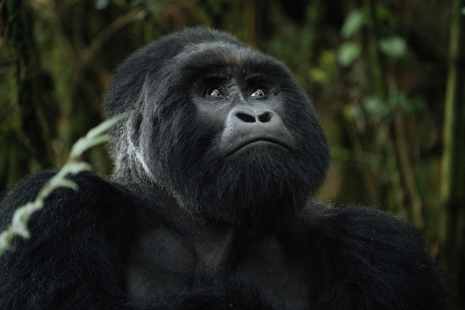 CS-170926-gorillas-009.jpg