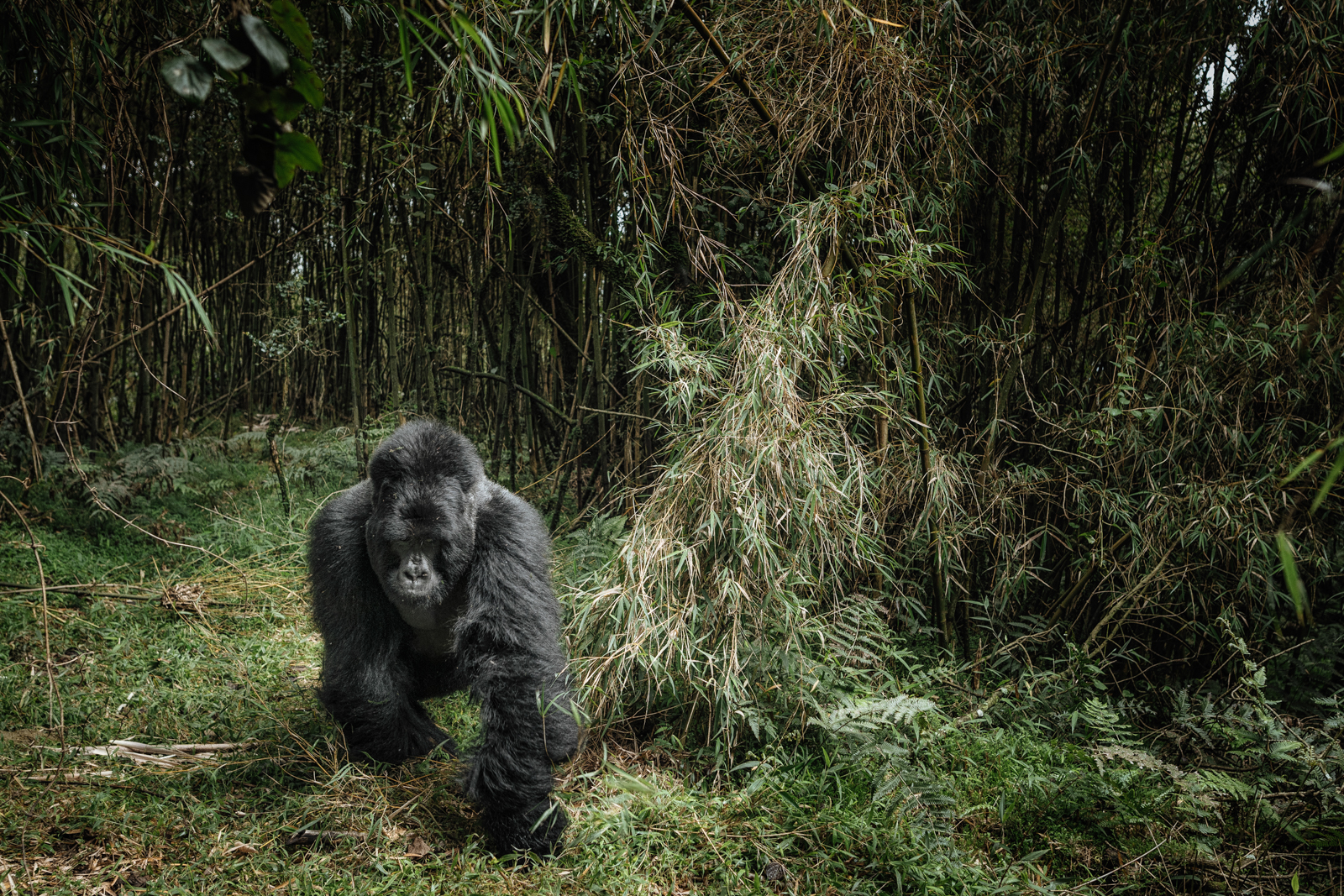 CS-170926-gorillas-012.jpg
