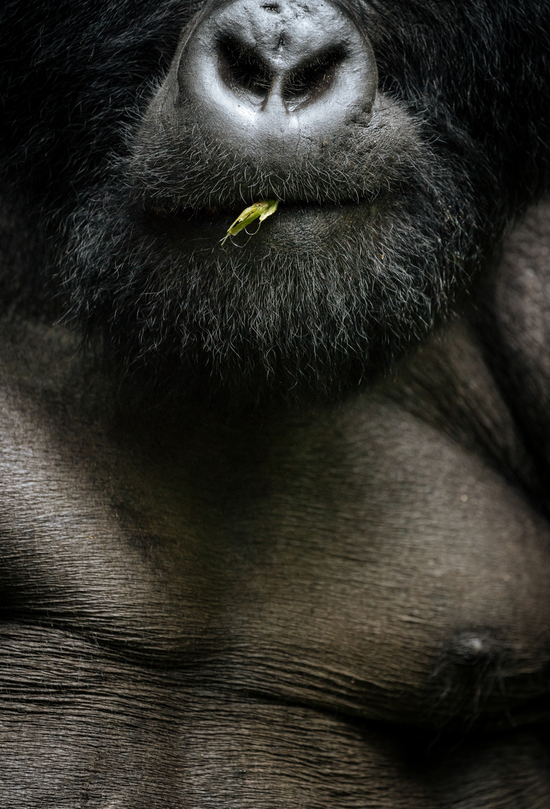 CS-170926-gorillas-014.jpg