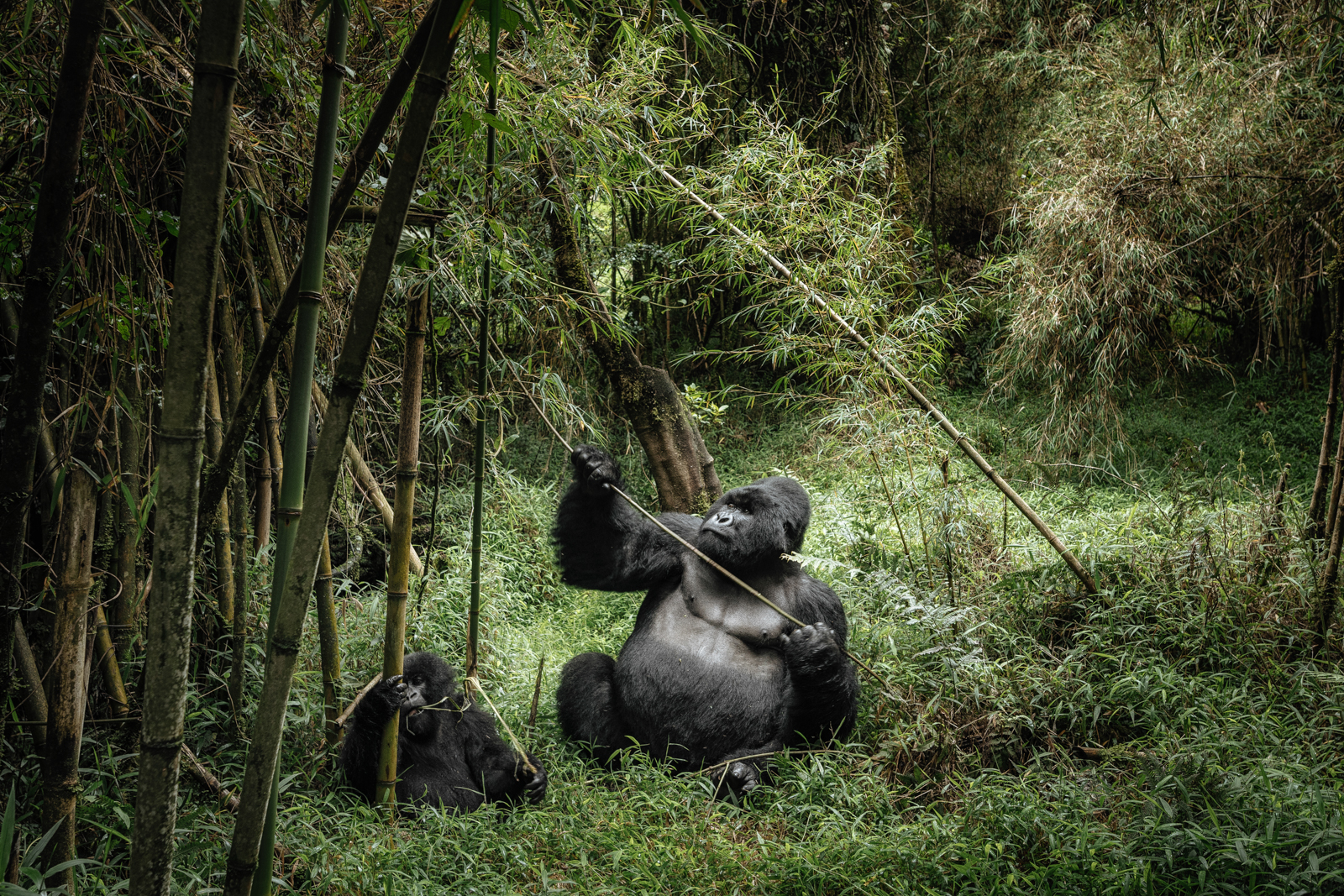 CS-170926-gorillas-015.jpg